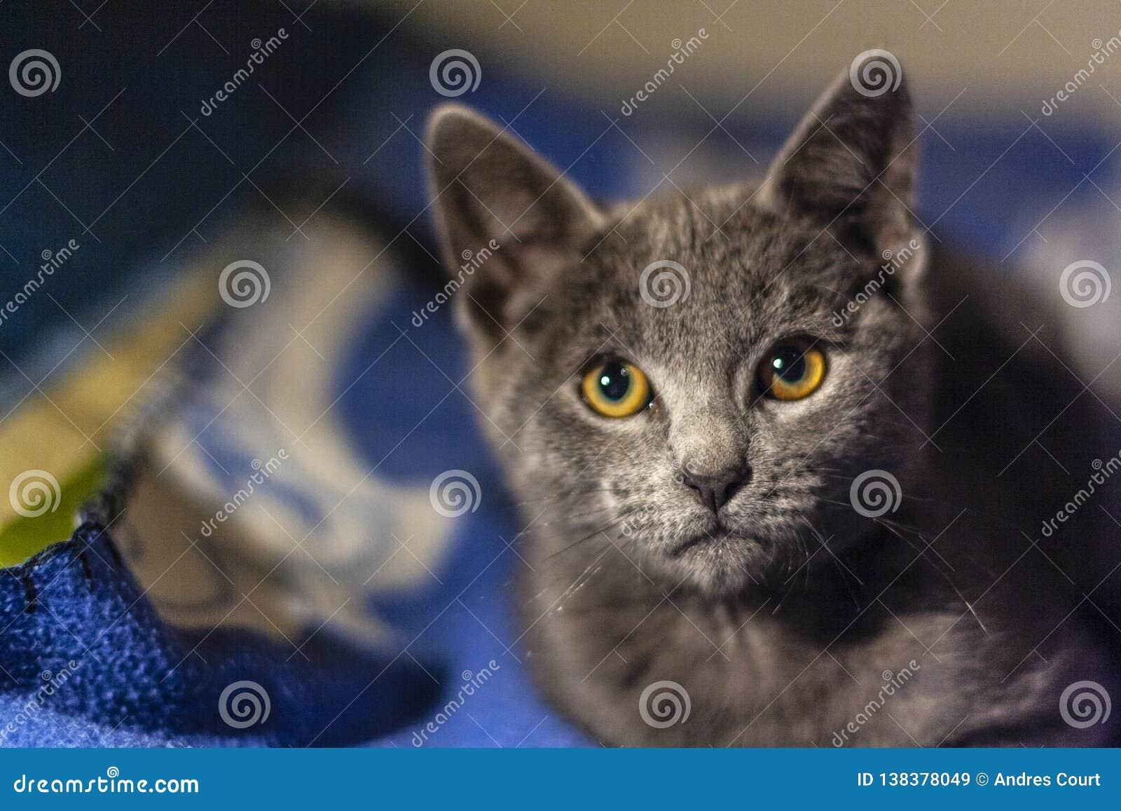 Fim cinzento do gato acima da vista