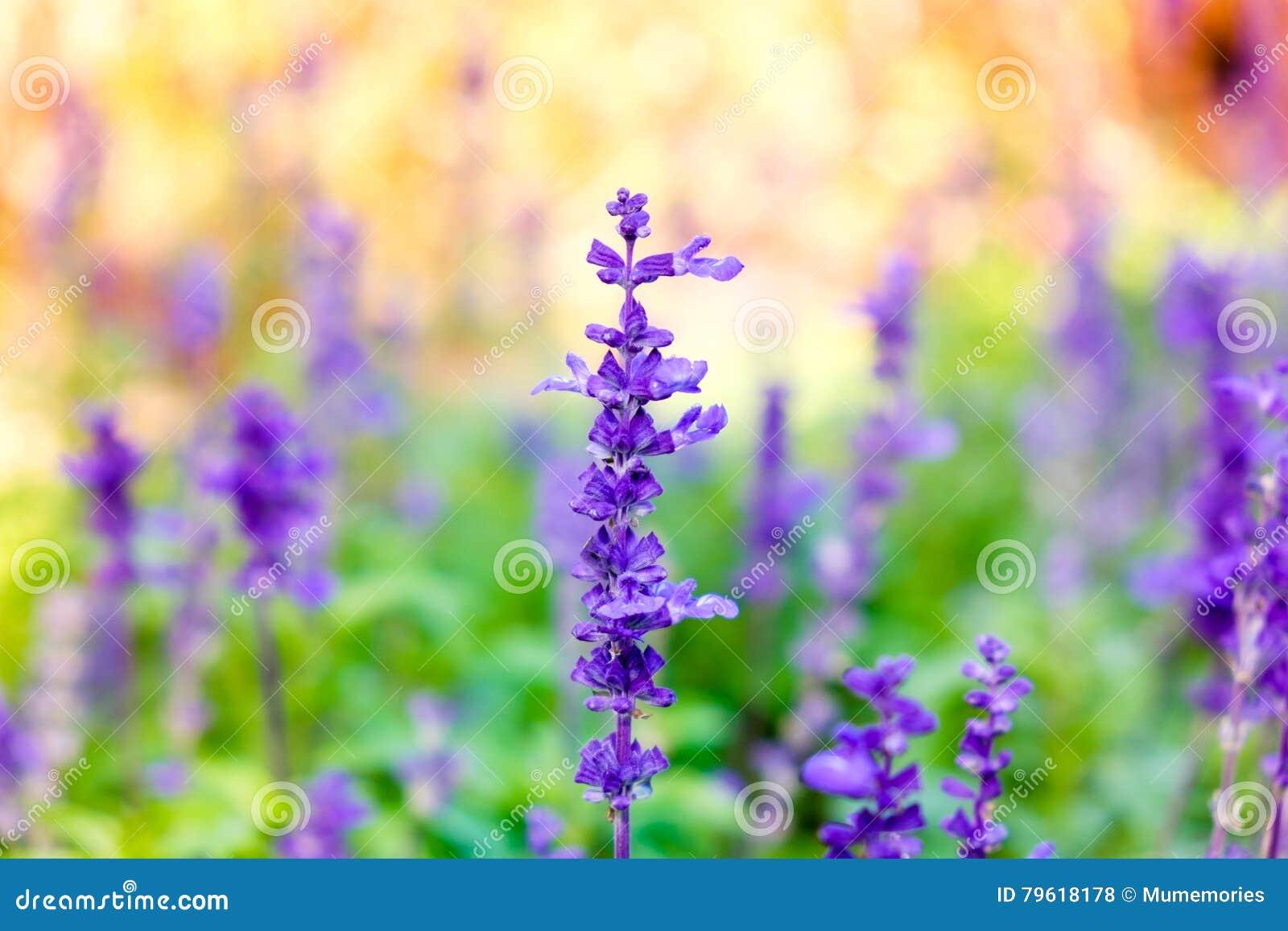 Fim da flor da alfazema acima no borrão do campo colorido