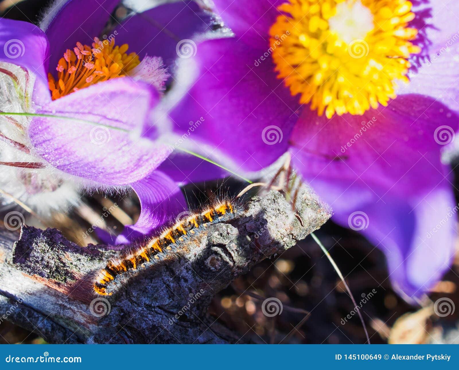 Fim da flor de Pasque acima e lagarta de rastejamento