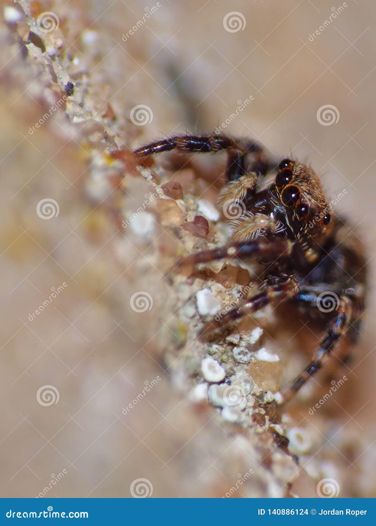 Fim de salto da aranha do inseto acima do macro