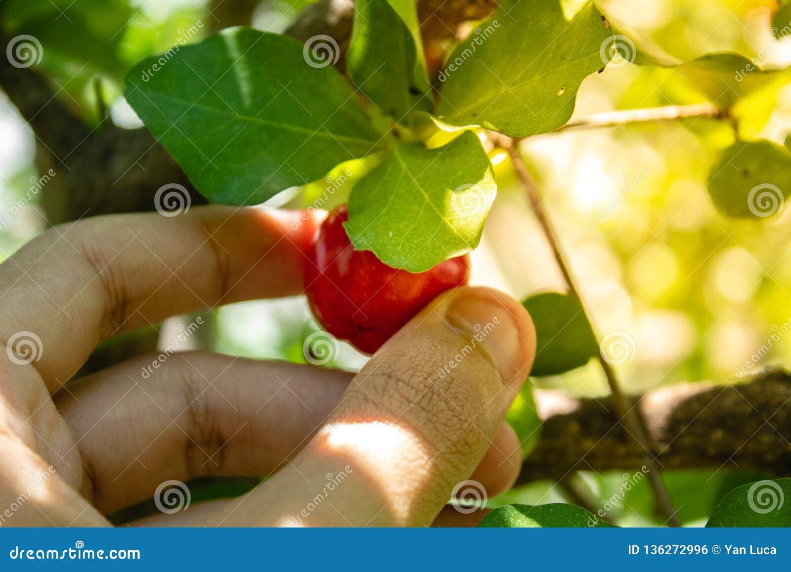 Fim do Acerola acima da cereja de /Acerola - fruto pequeno da cereja do Acerola na árvore A cereja do Acerola é a vitamina alta C