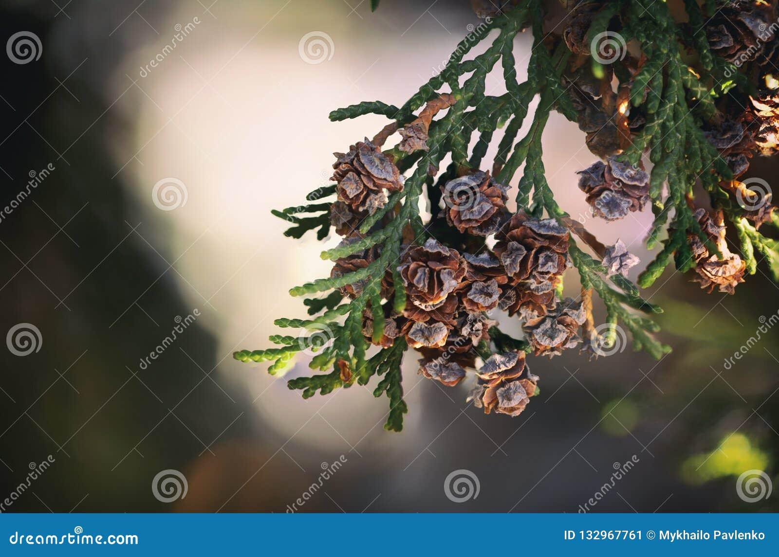 Fim do cone dos occidentalis do Thuja acima do backround verde