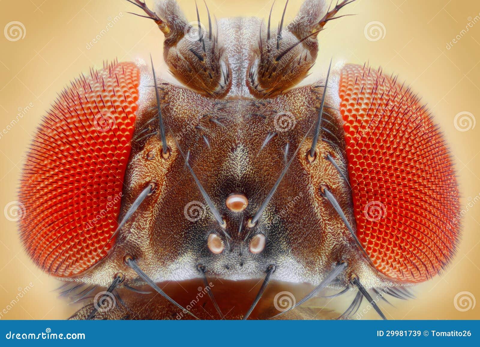 Melanogaster da drosófila