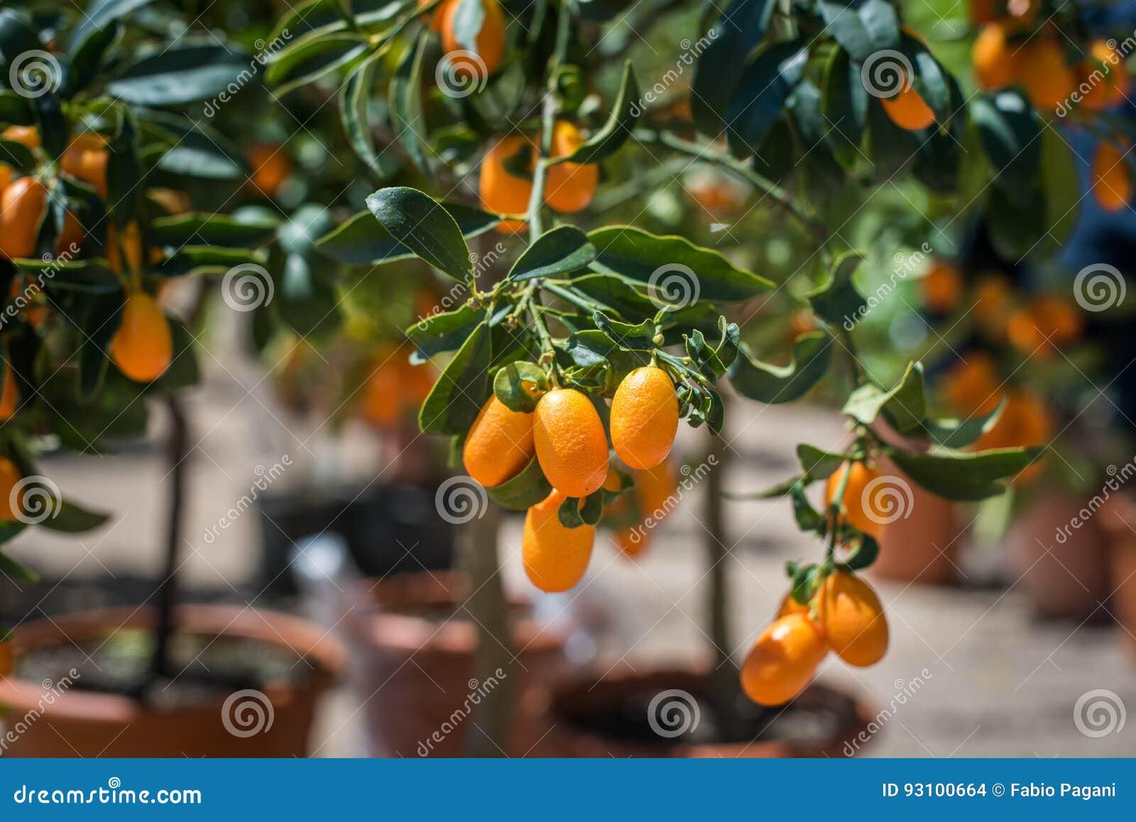 Fim do fruto do Kumquat acima no ramo de árvore verde