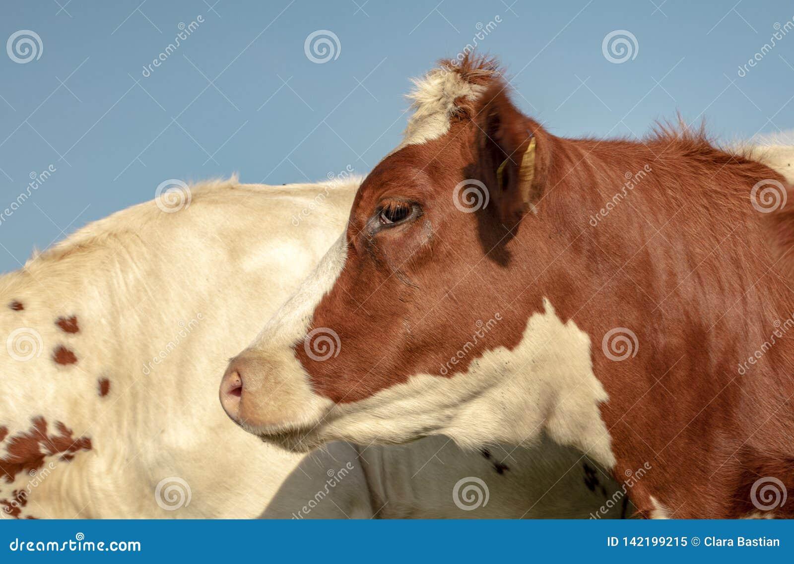 Fim do perfil acima de uma vaca vermelha e branca nova, com topete, e um fundo azul