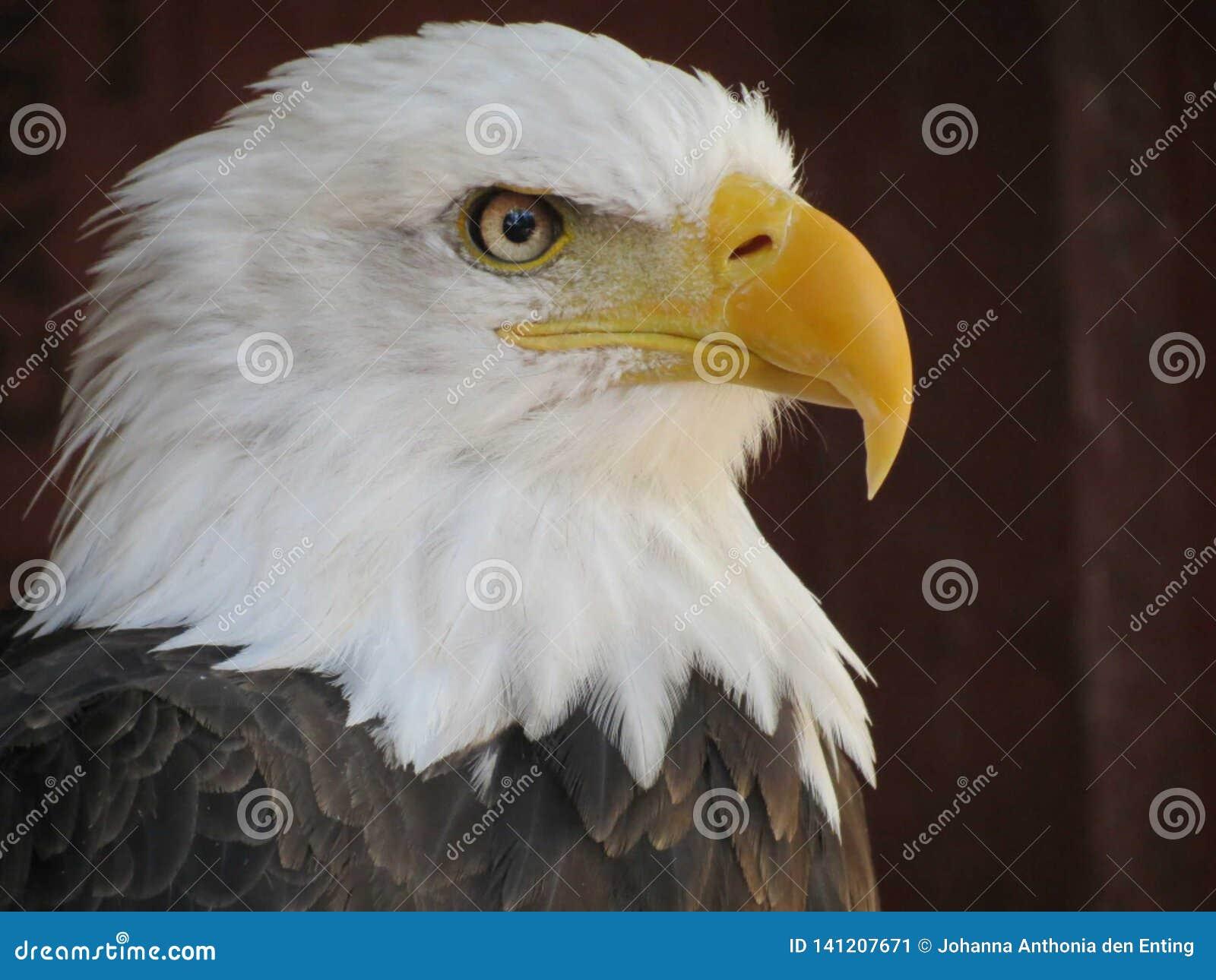 Fim do retrato da águia americana acima