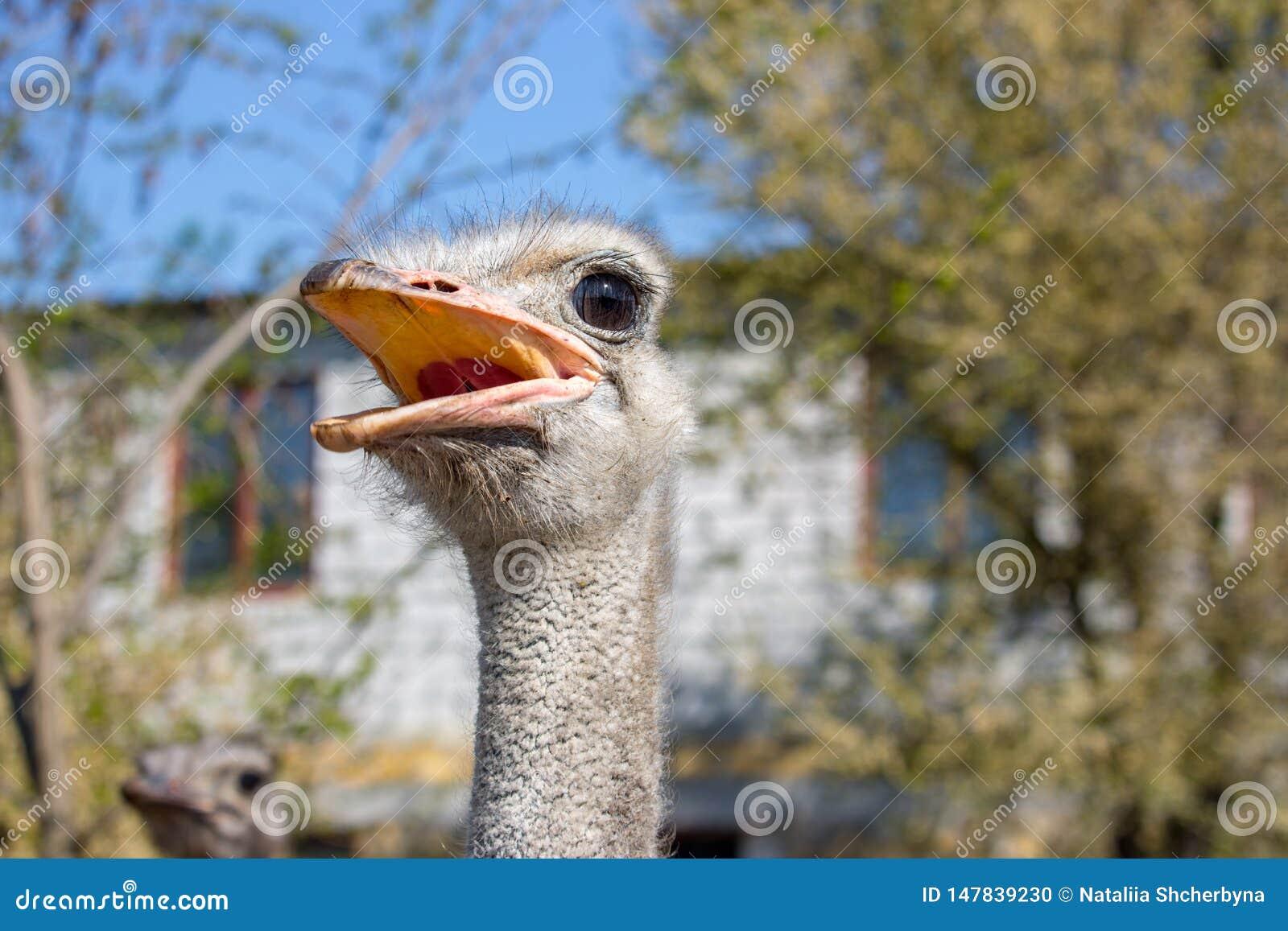 Fim do retrato da avestruz acima Ema curioso na explora??o agr?cola Cara irritada da avestruz Close up peludo engra?ado do ema Co