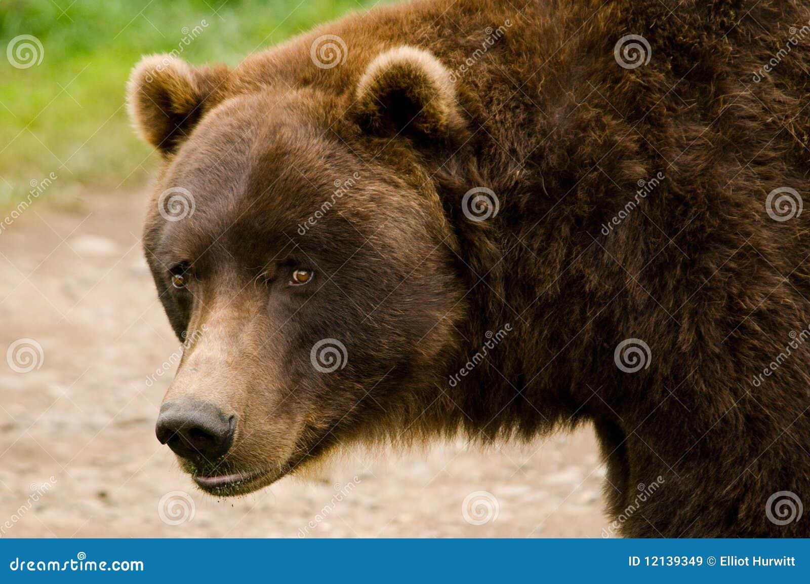 Fim do urso de Brown do Kodiak acima