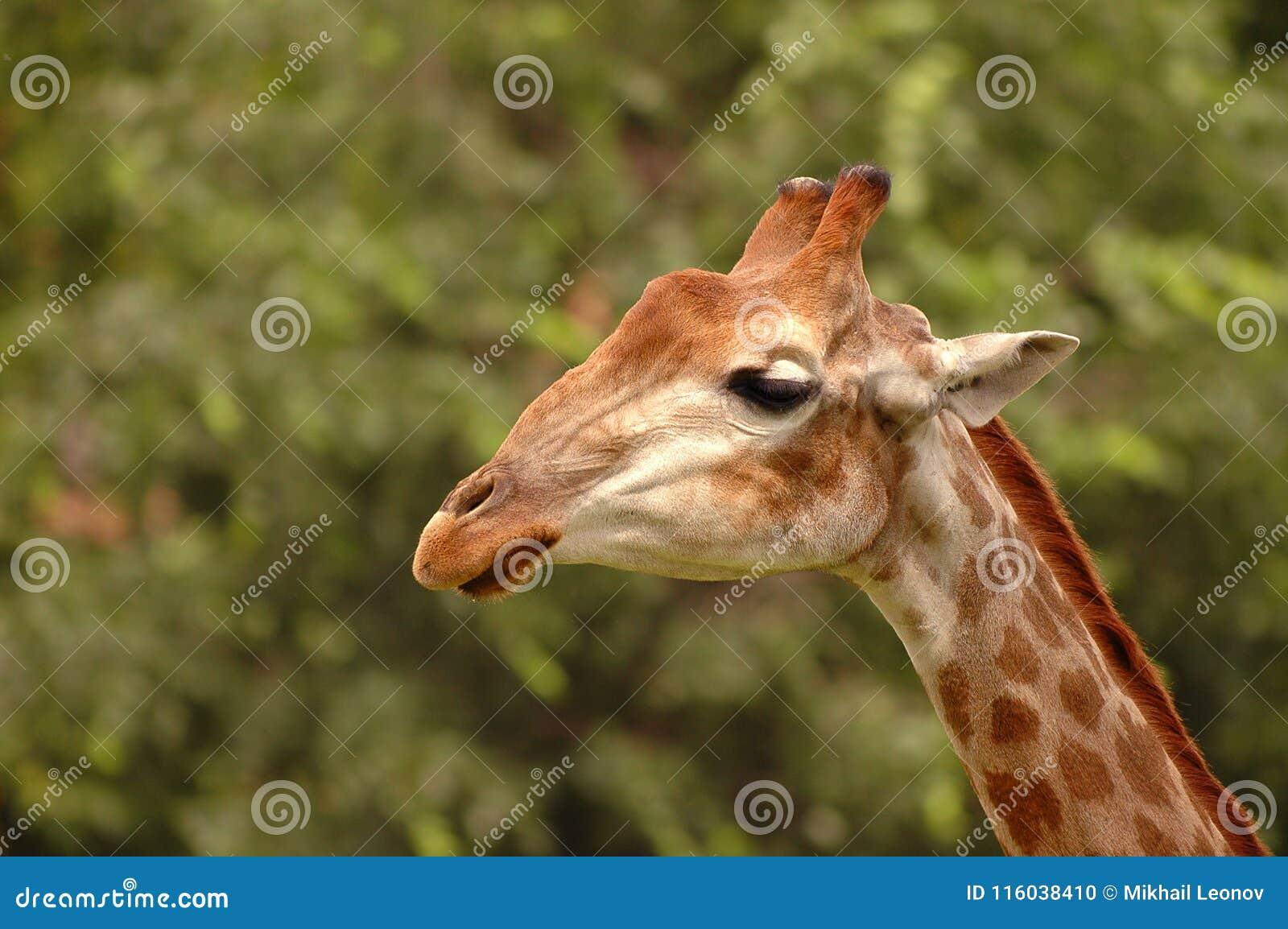 Fim selvagem novo bonito do girafa acima do retrato Girafa triste Safari selvagem da vida de África Girafas mundialmente famosos