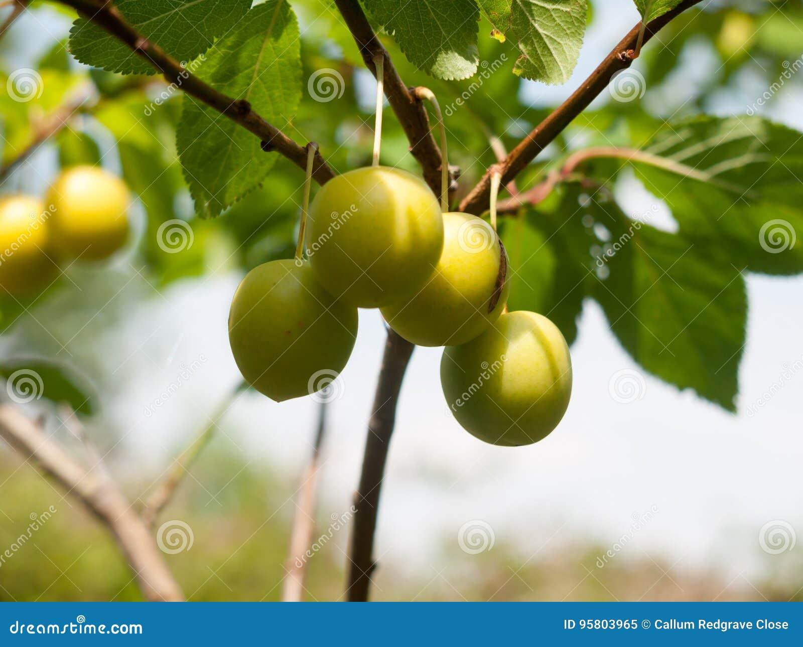 Fim selvagem que cresce acima Gage Plums na árvore