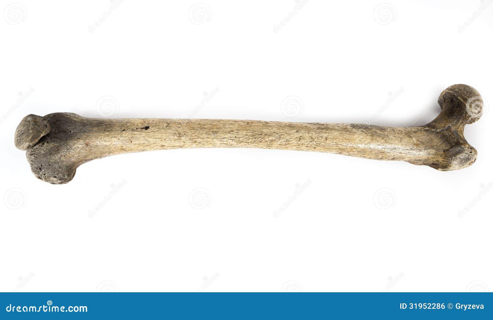 Fim velho do osso isolado acima no fundo branco