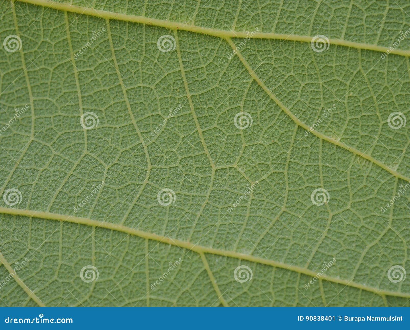 Fim verde da folha da árvore acima