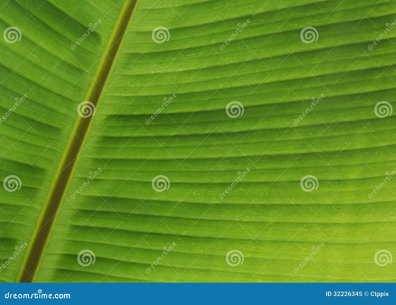 Download Fim Verde Da Folha Da Banana Acima Imagem de Stock - Imagem de estruturas, banana: 32226345