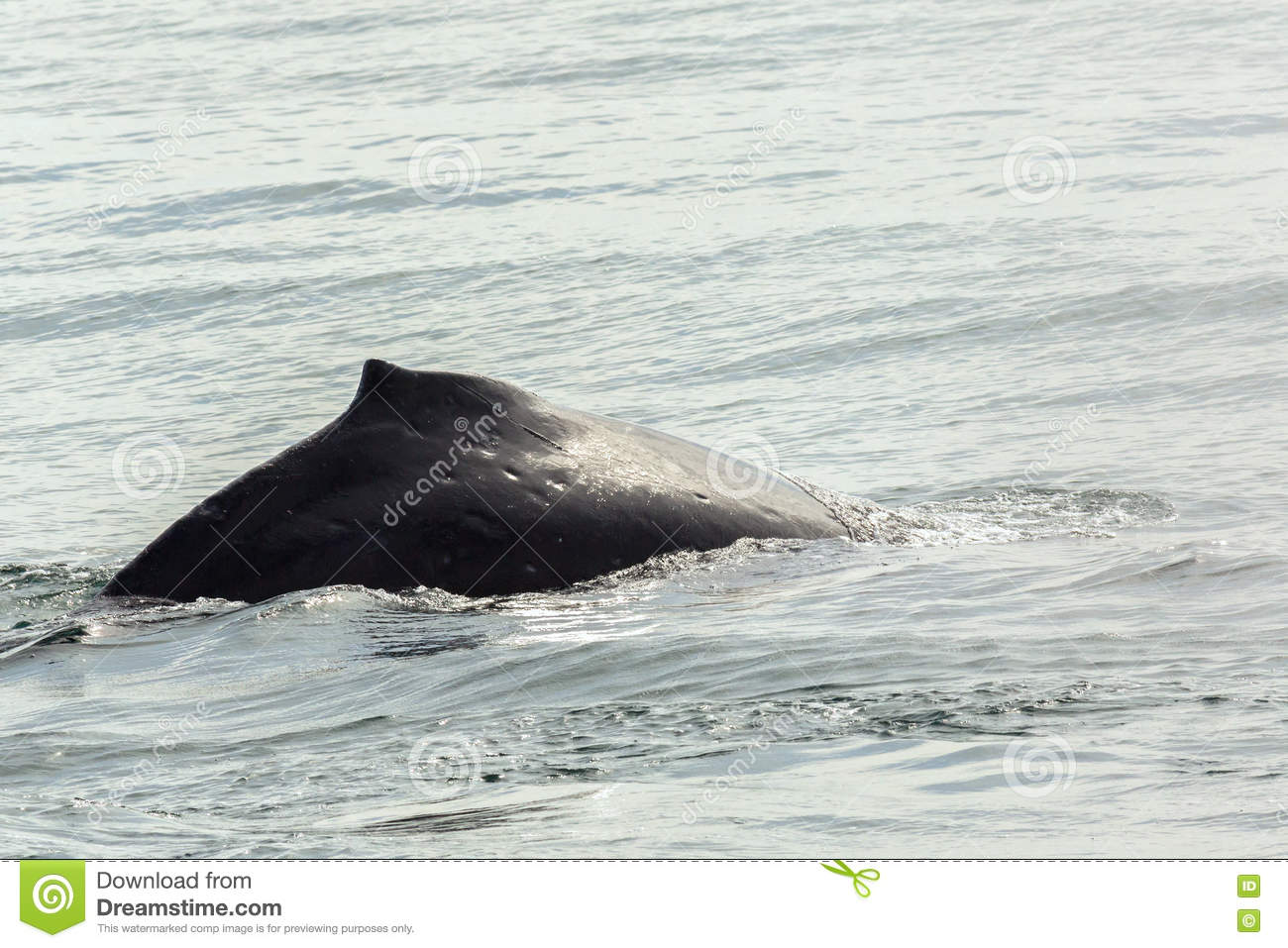 Fin on the back of humpback whale in Pacific Ocean. Water area near Kamchatka Peninsula.