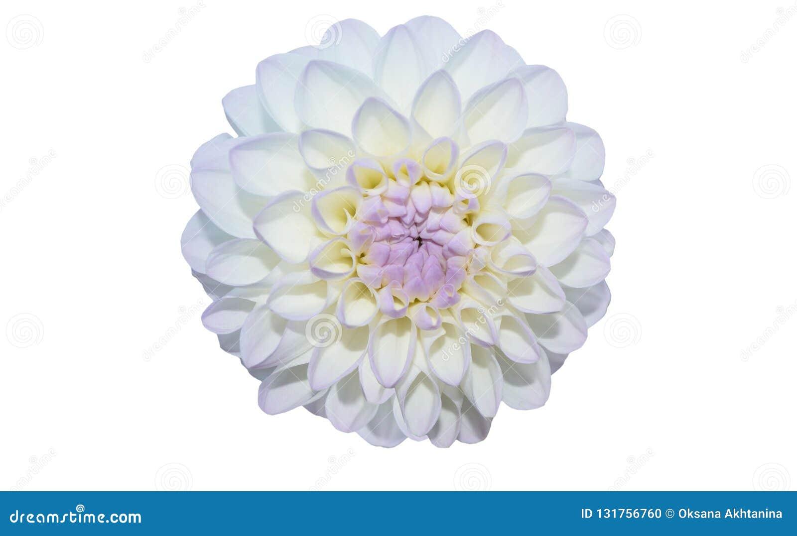 Fin blanche de fleur de Gergina vers le haut d isolat sur le fond blanc