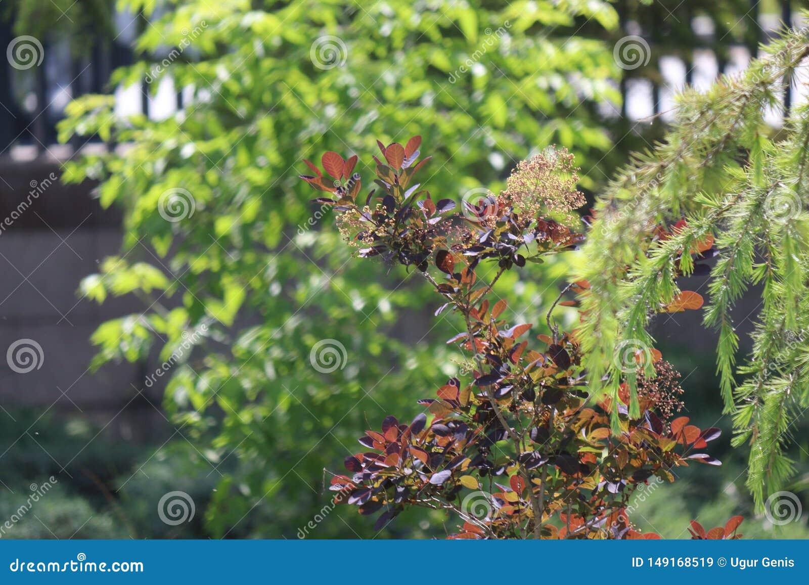 Fin de brunch d arbre de sapin  Orientation peu profonde Fin pelucheuse de brunch d arbre de sapin  Concept de papier peint Copie