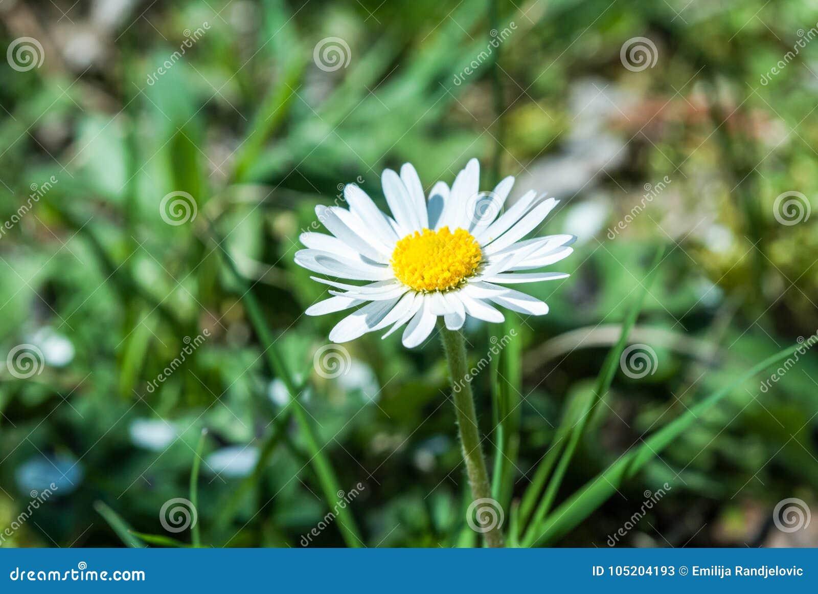 Fin de fleur de marguerite une journée de printemps en nature