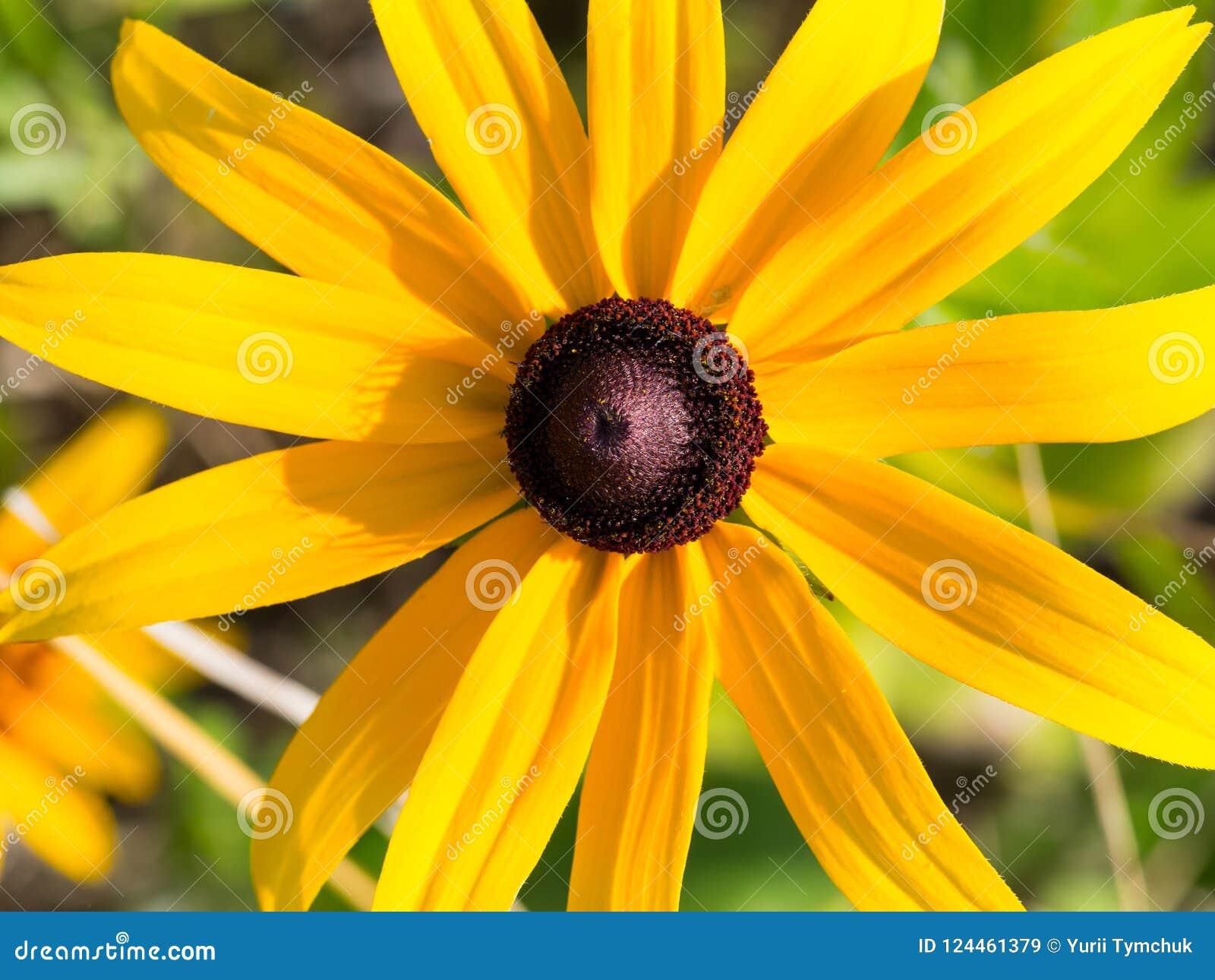 Fin de fleur de Susan observée par noir  Rudbekia