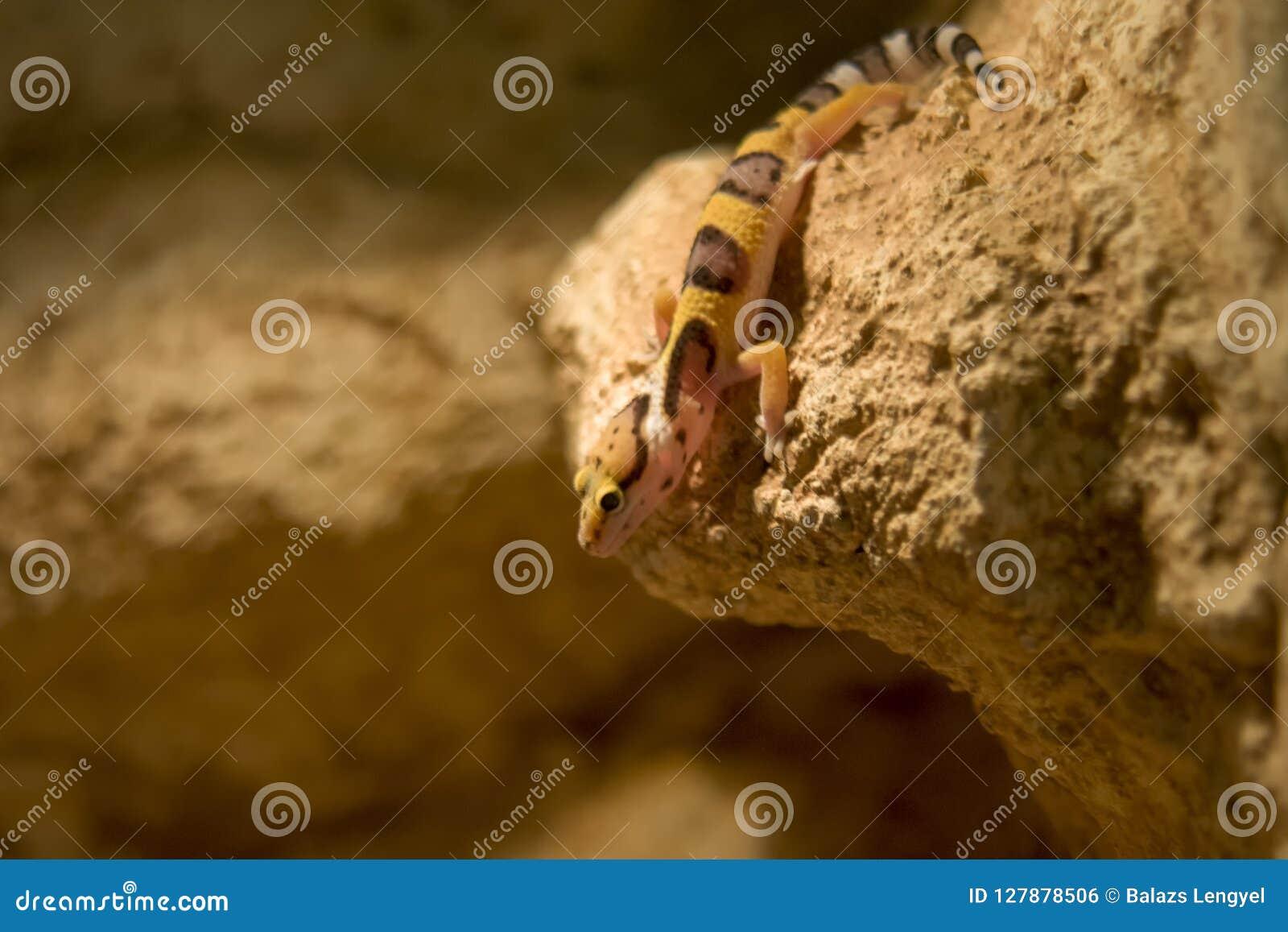 Fin de gecko de léopard, DOF peu profond
