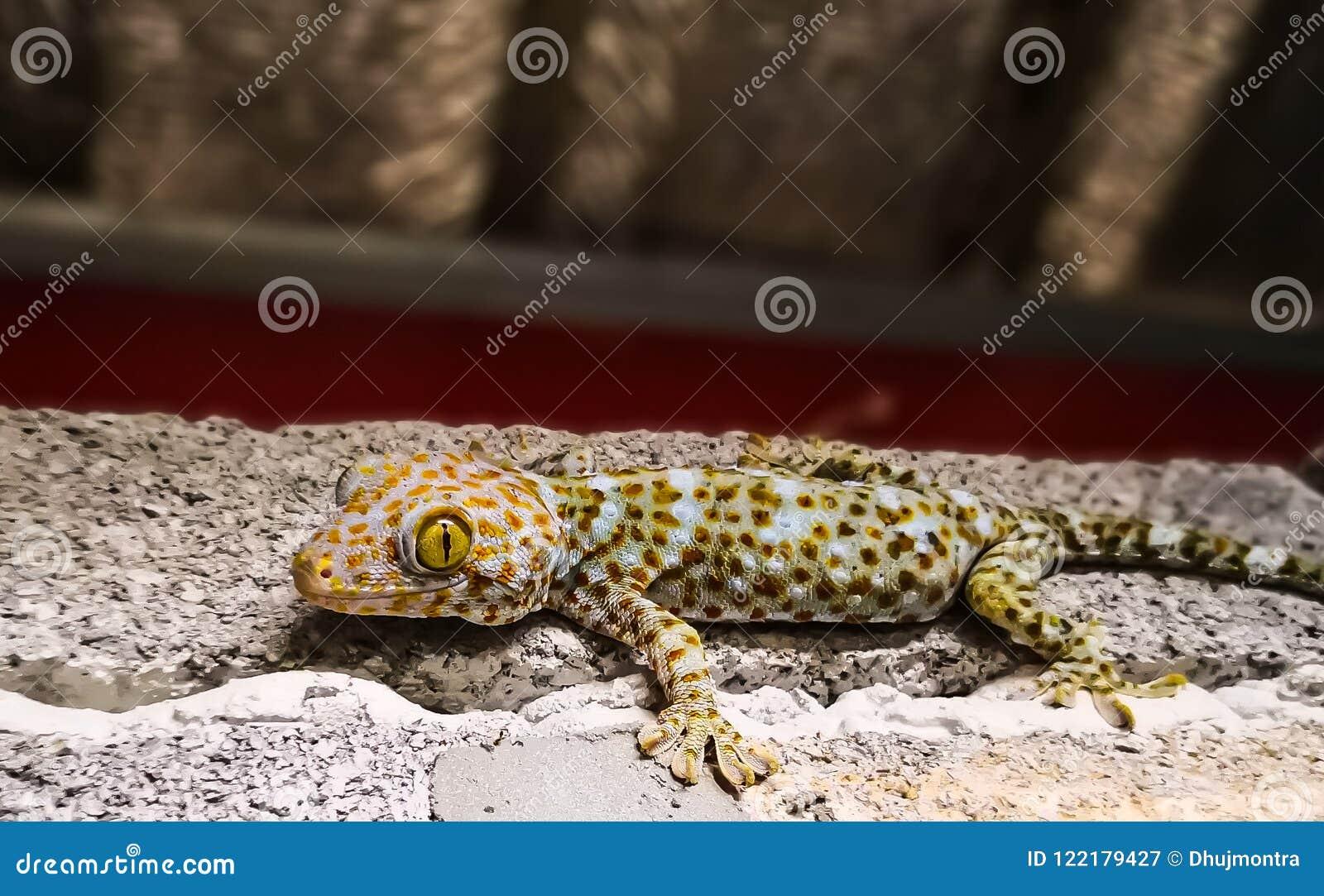 Fin de gecko de Tokay vers le haut