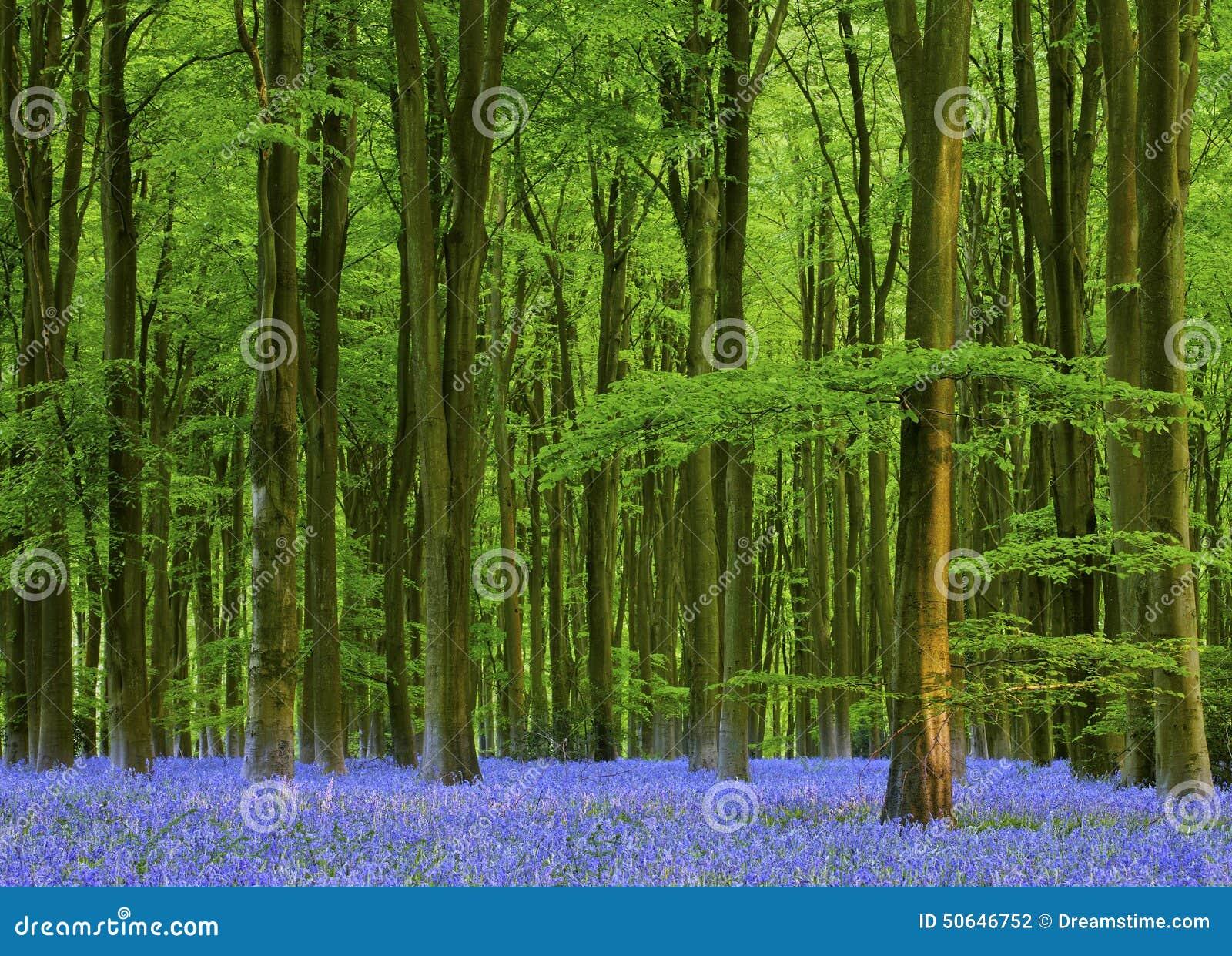 Fin de l après-midi dans un beau bois de jacinthe des bois