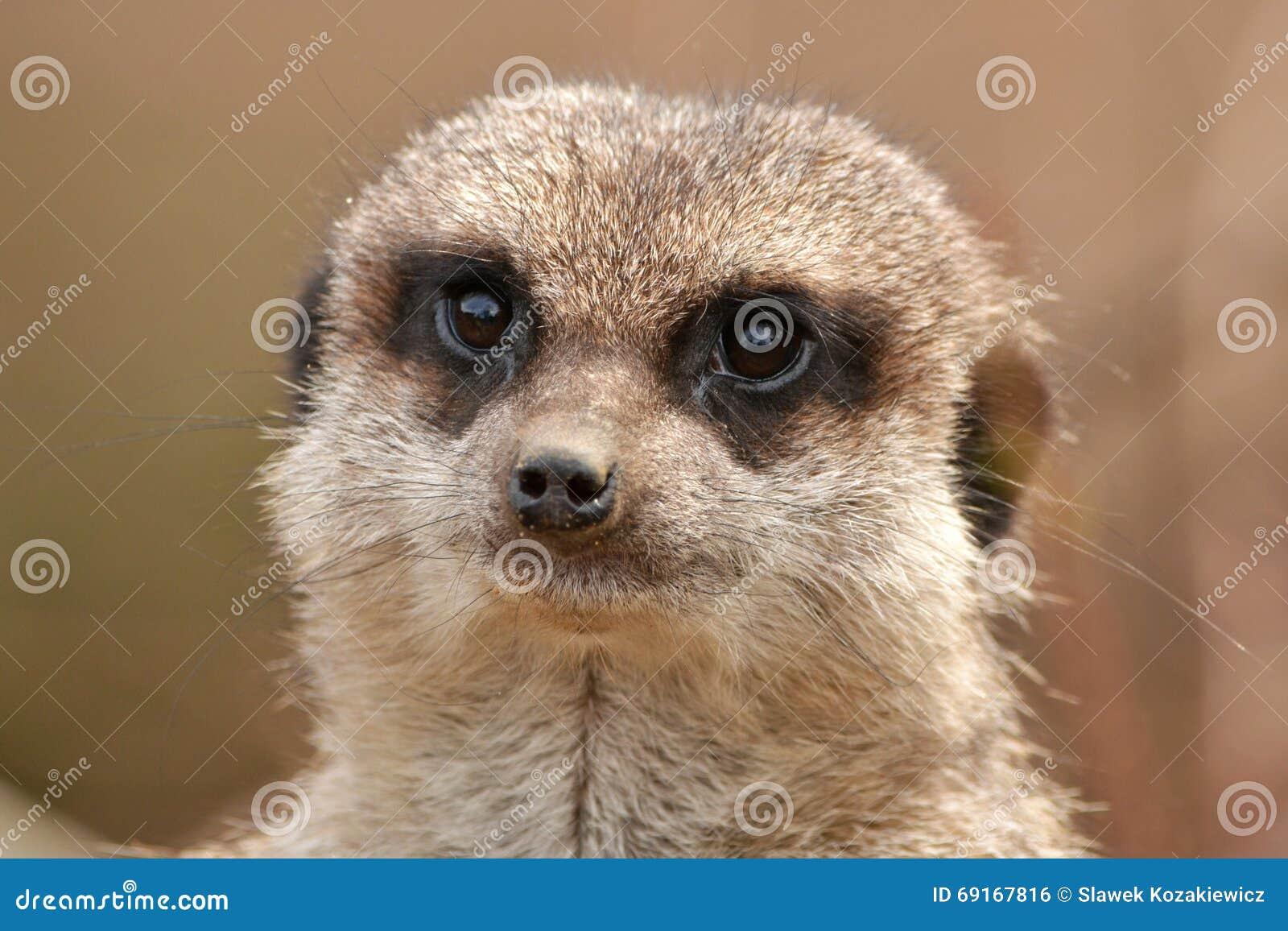 Fin de Meerkat