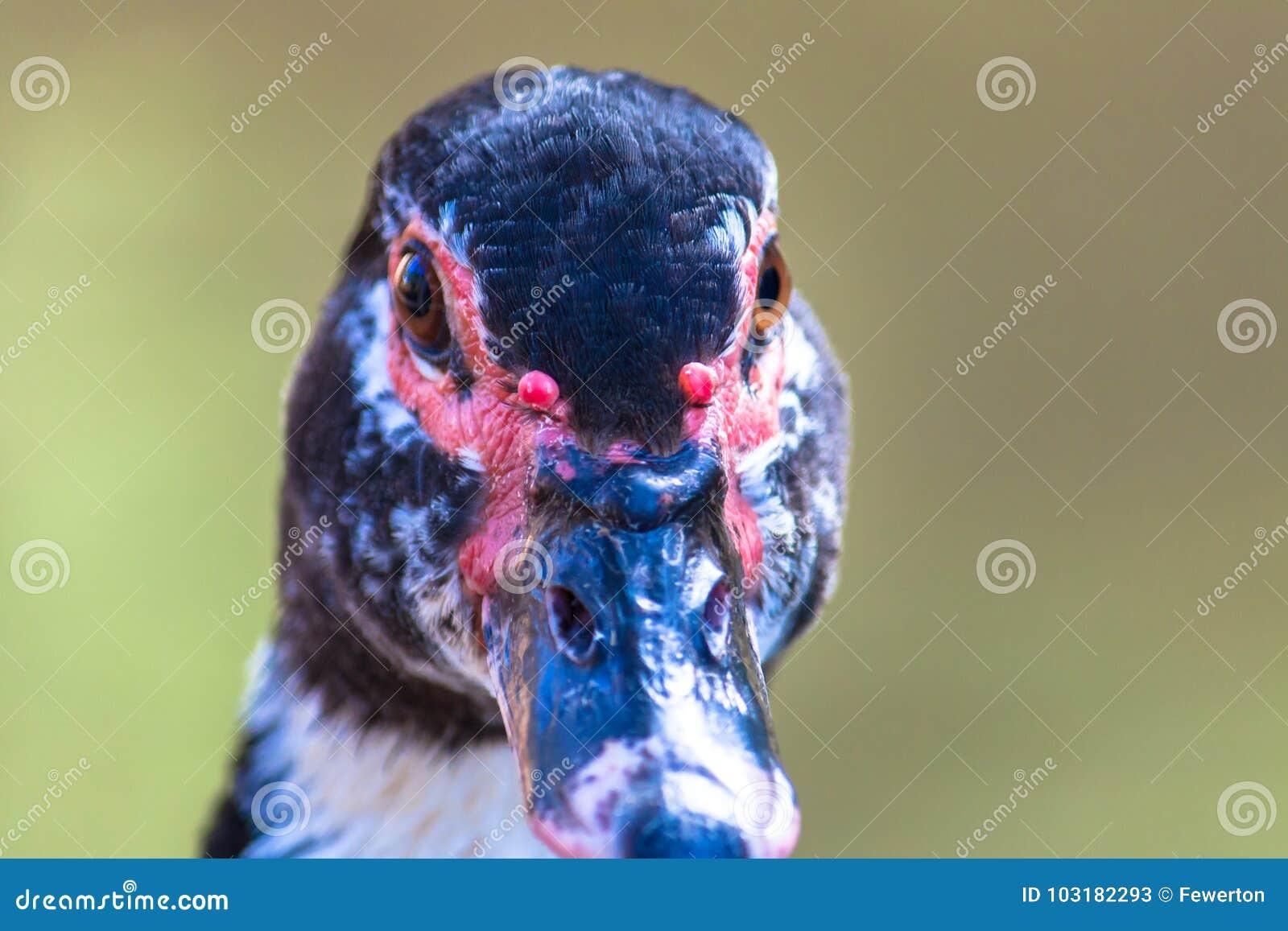 Fin de moschata de Cairina de canard de Muscovy vers le haut du portrait frontal principal