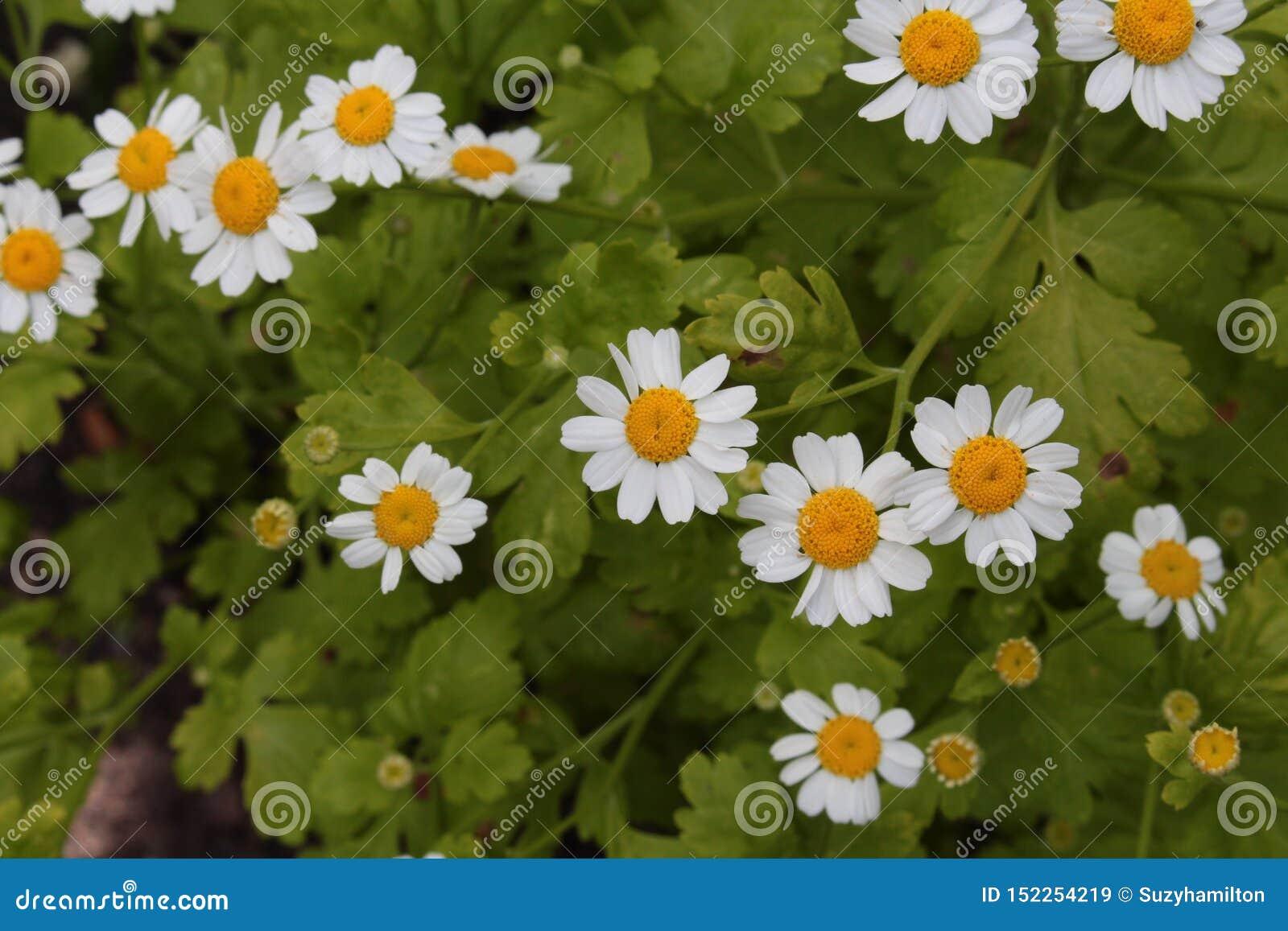 Fin de parthenium de chrysanthème d herbe de Feverfew d en haut