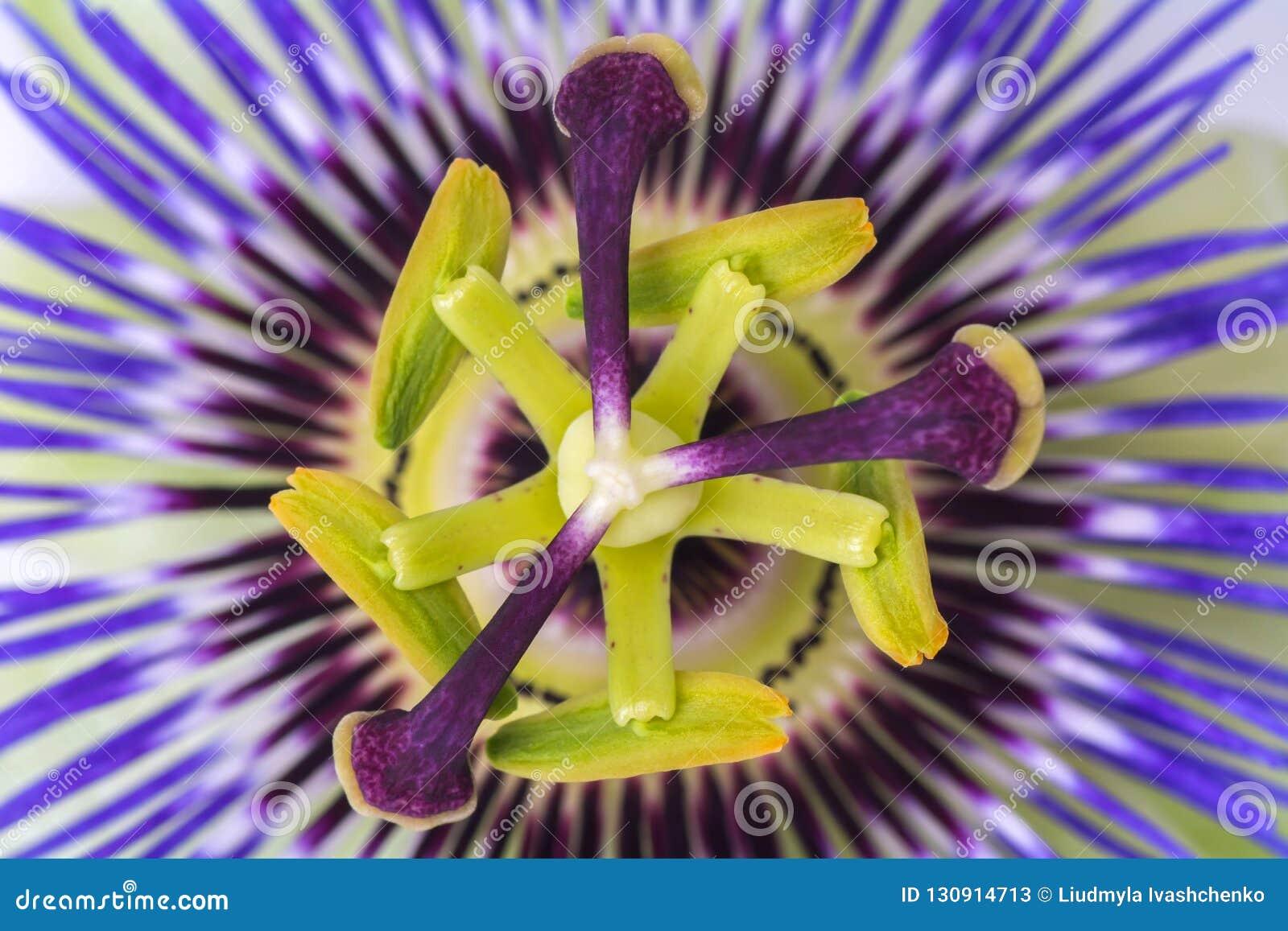 Fin de passiflore de passiflore  grande belle fleur