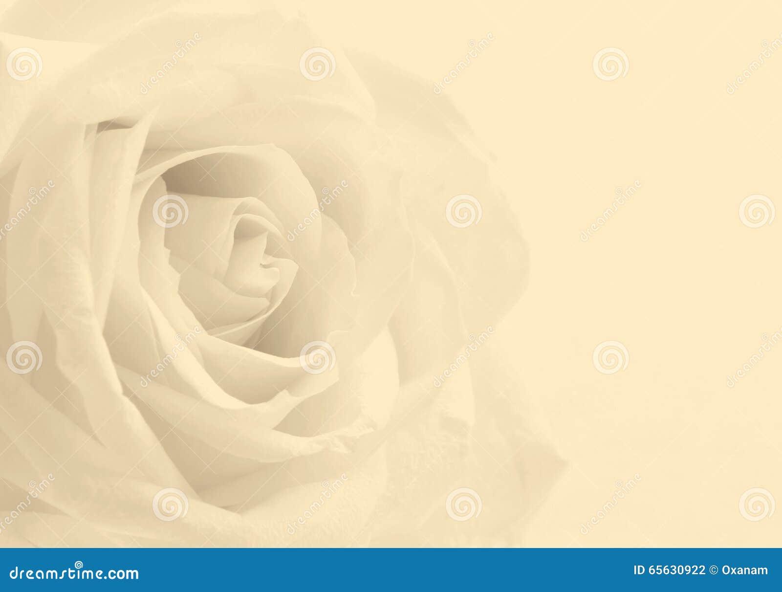 Fin de rose de blanc comme fond Orientation molle Dans la sépia modifiée la tonalité r
