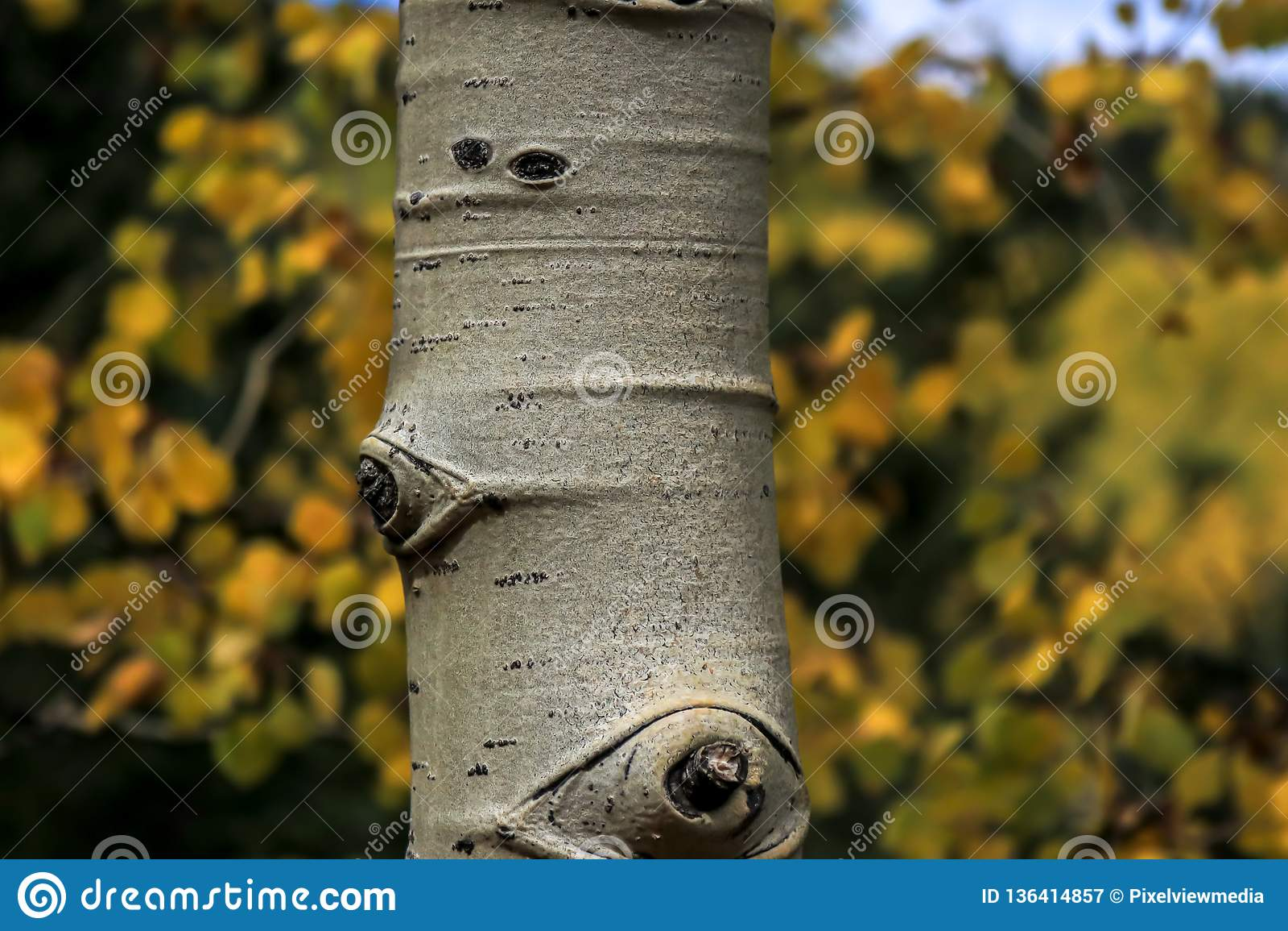 Fin de tronc d arbre d Aspen