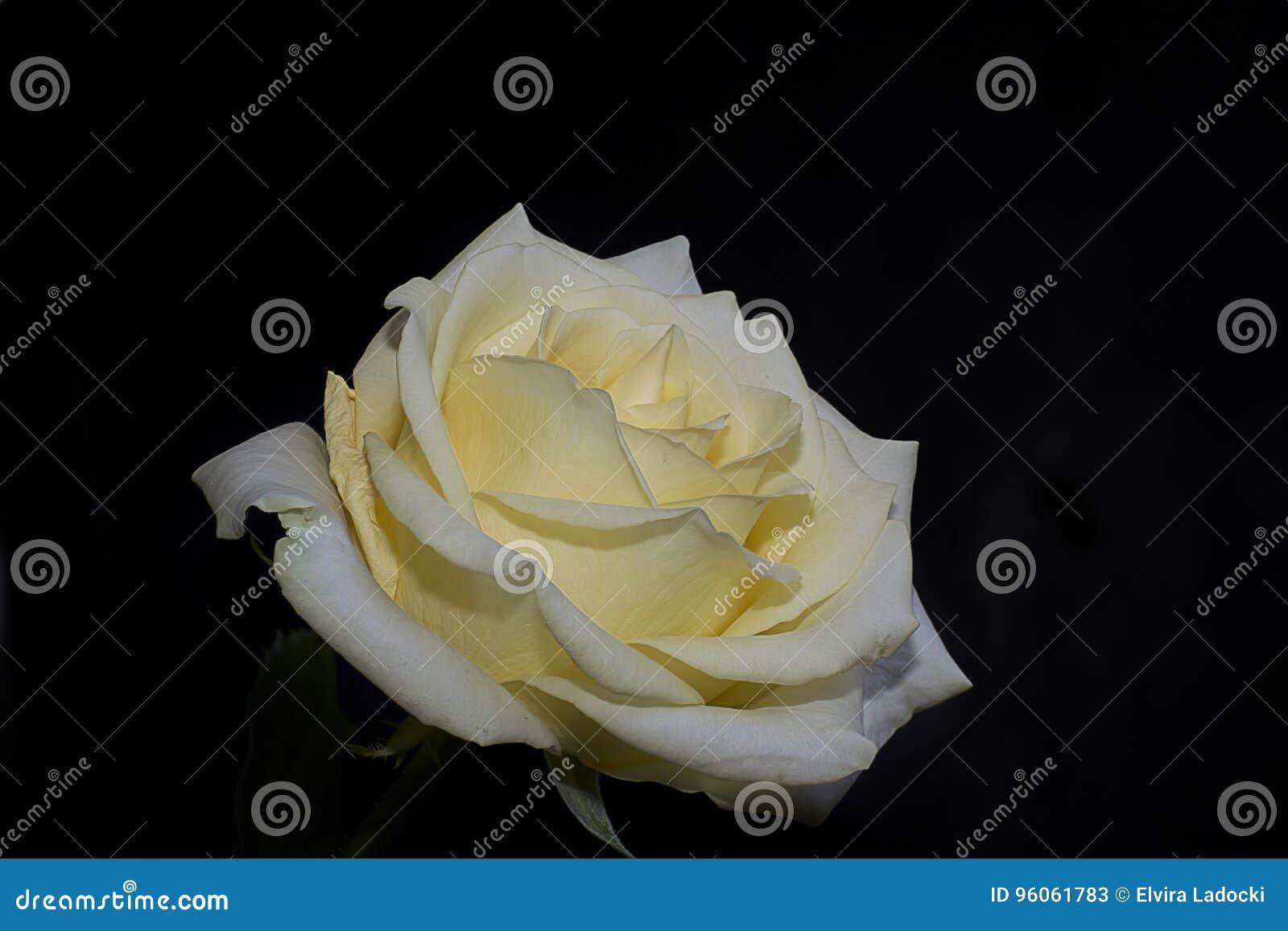 Fin gentille de rose