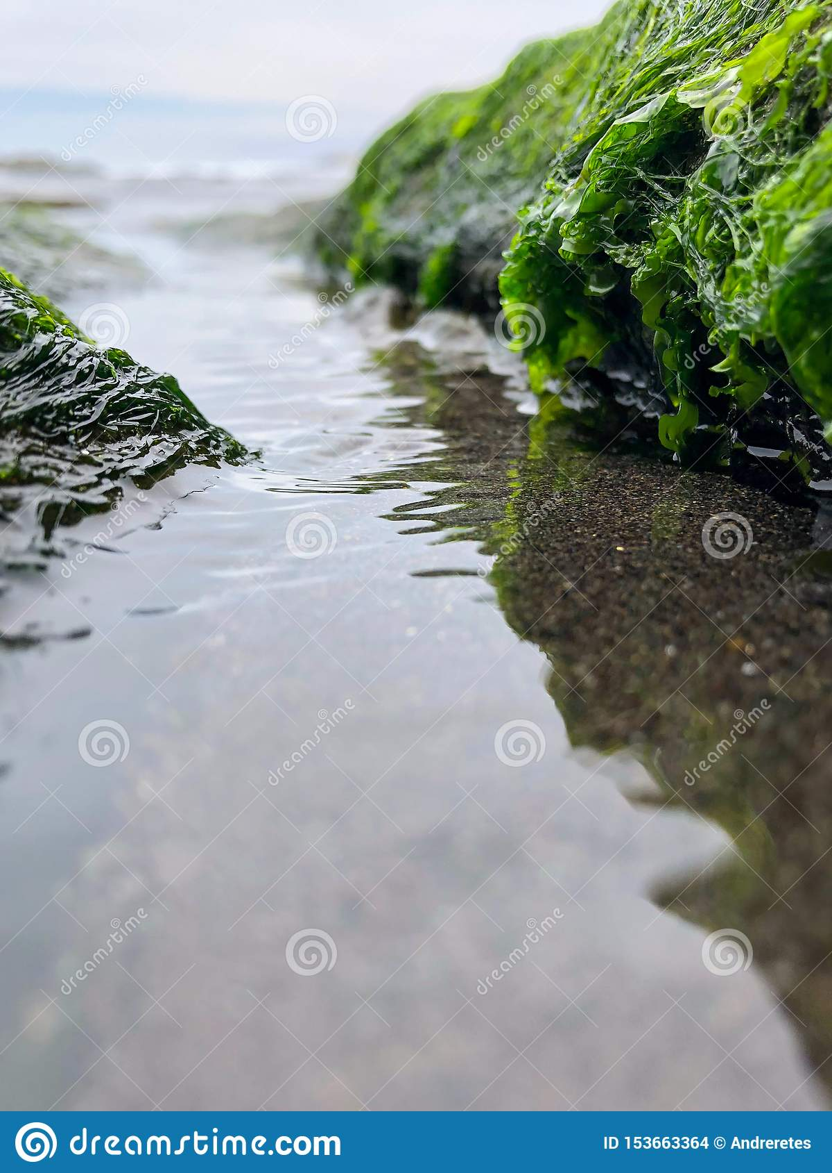 Fin jusqu à l algue verte de la mer du piment