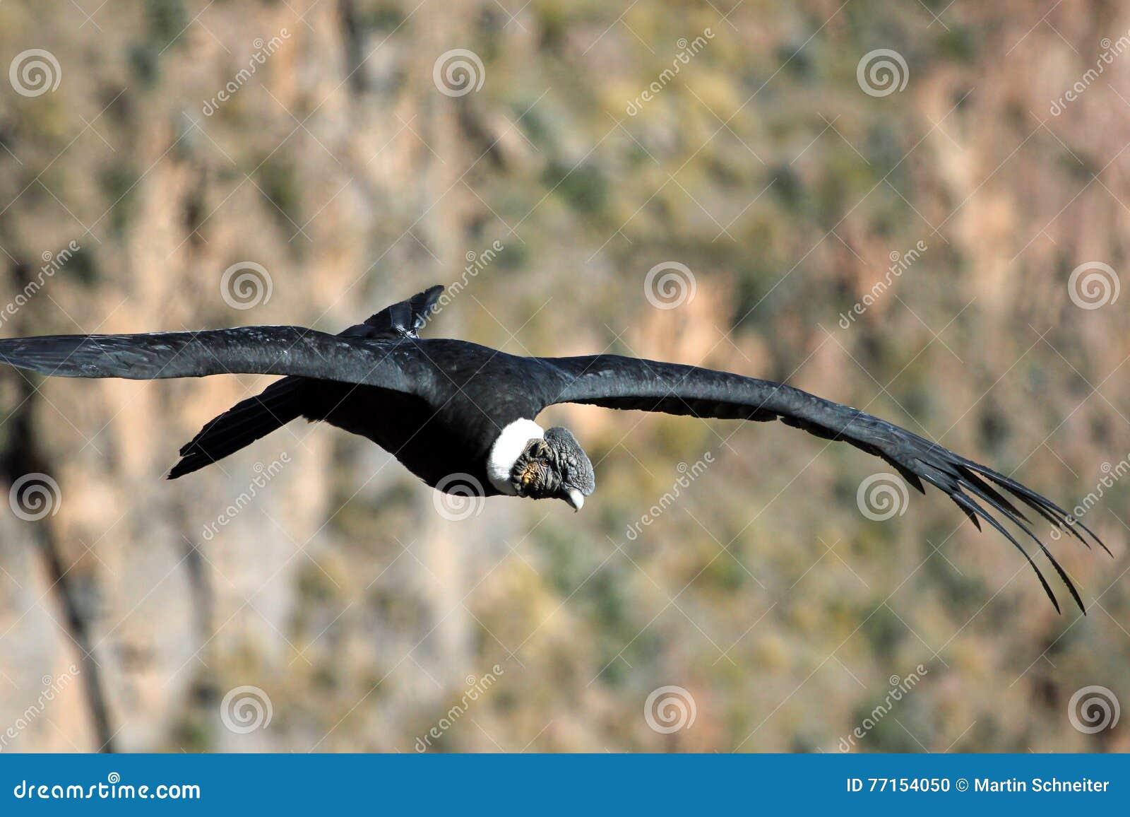 Fin masculine de vol de condor andin