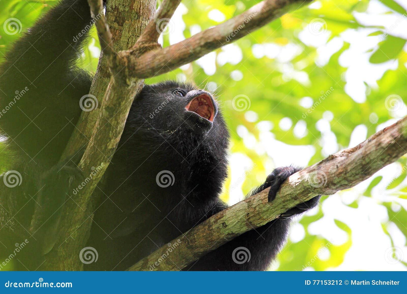 Fin noire d hurlement de singe d hurleur