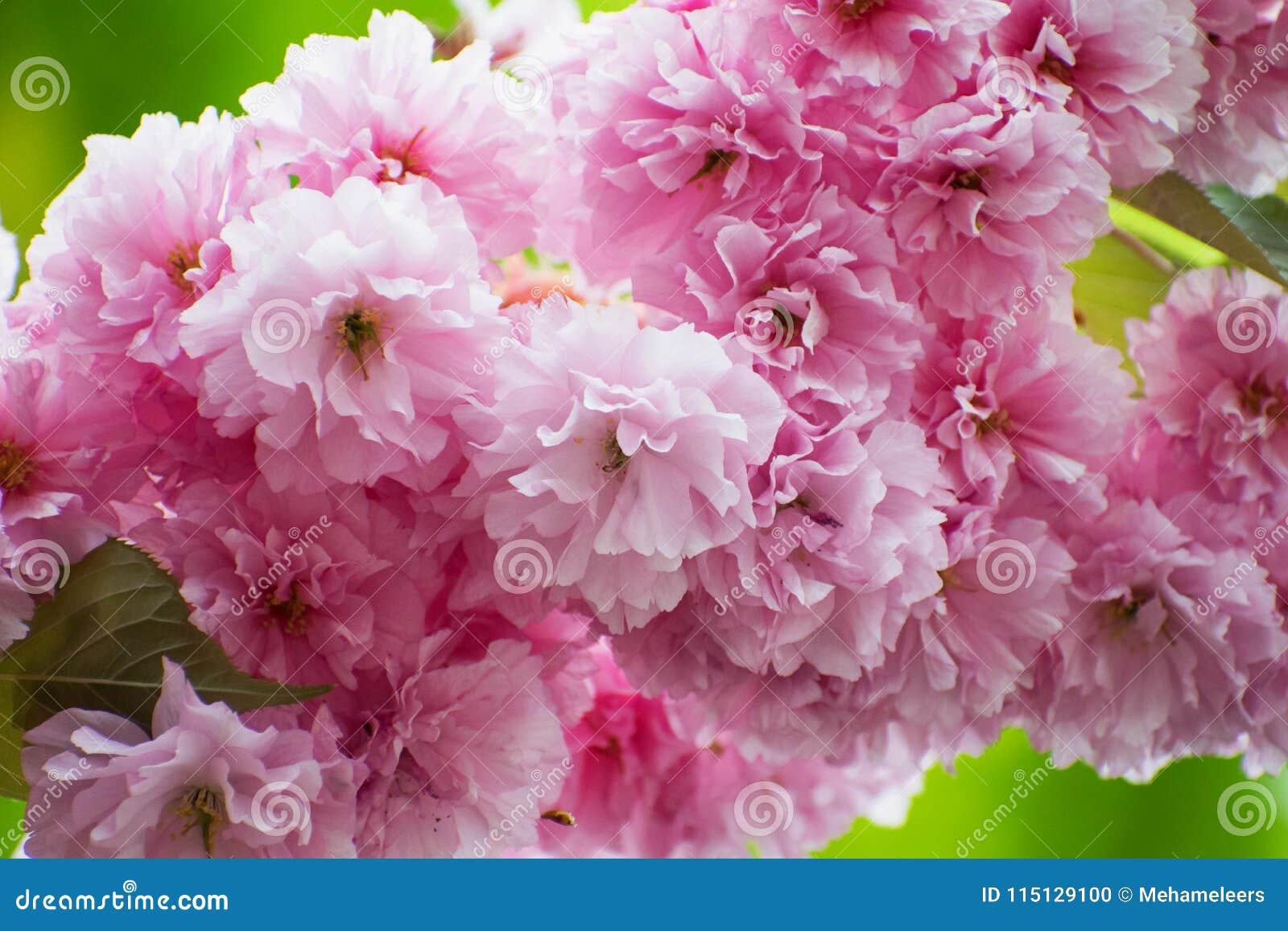 Fin rose de Cherry Blossom  Fond de source Photo fraîche florale de fleur