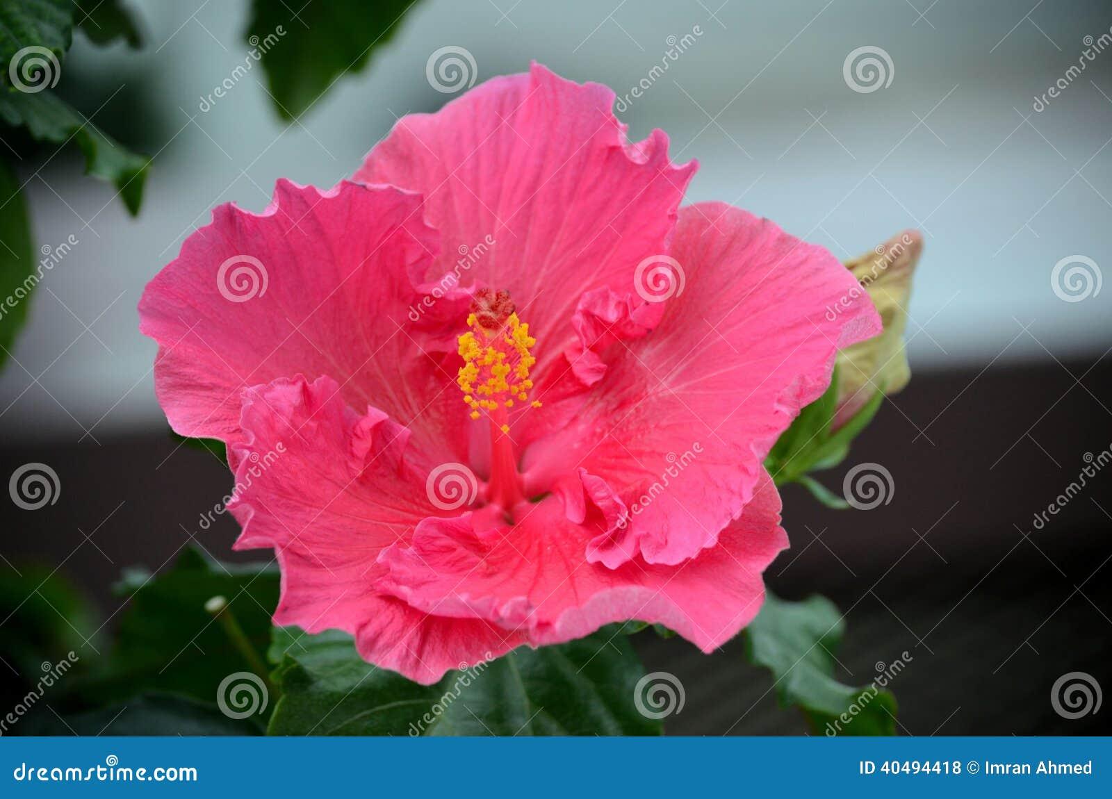 fin rose foncée de fleur avec l'étamine et les pistils photo stock