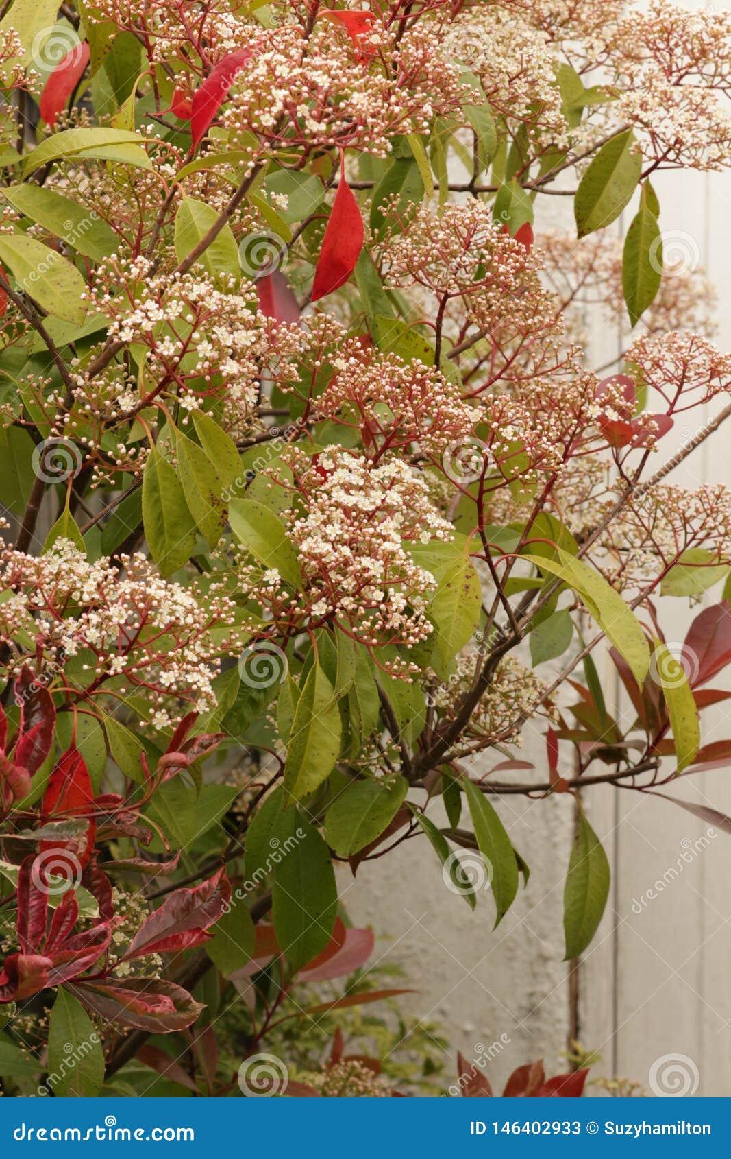 Fin rouge d arbuste de Robin de Photinia