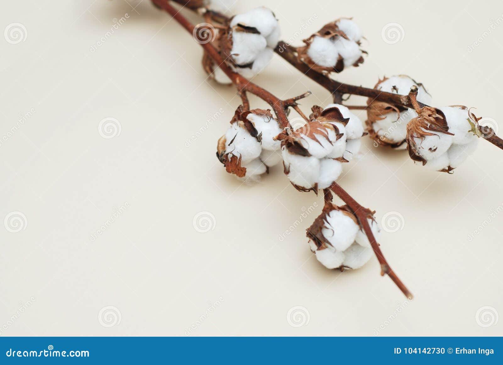 Branche Fleur De Coton fin sèche de branche de fleur de coton sur le fond en ivoire