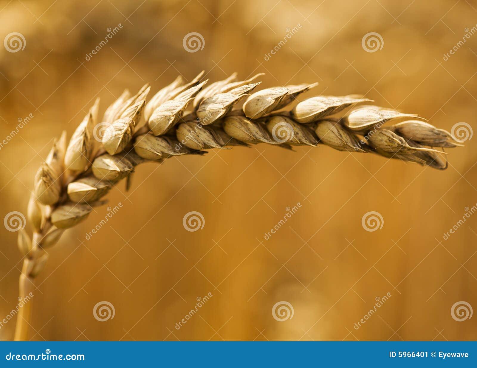 Fin simple d oreille de blé vers le haut