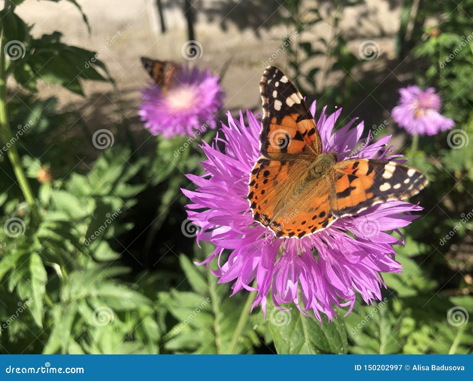 Fin vers le haut de papillon d urticae de Nymphalis sur la fleur violette