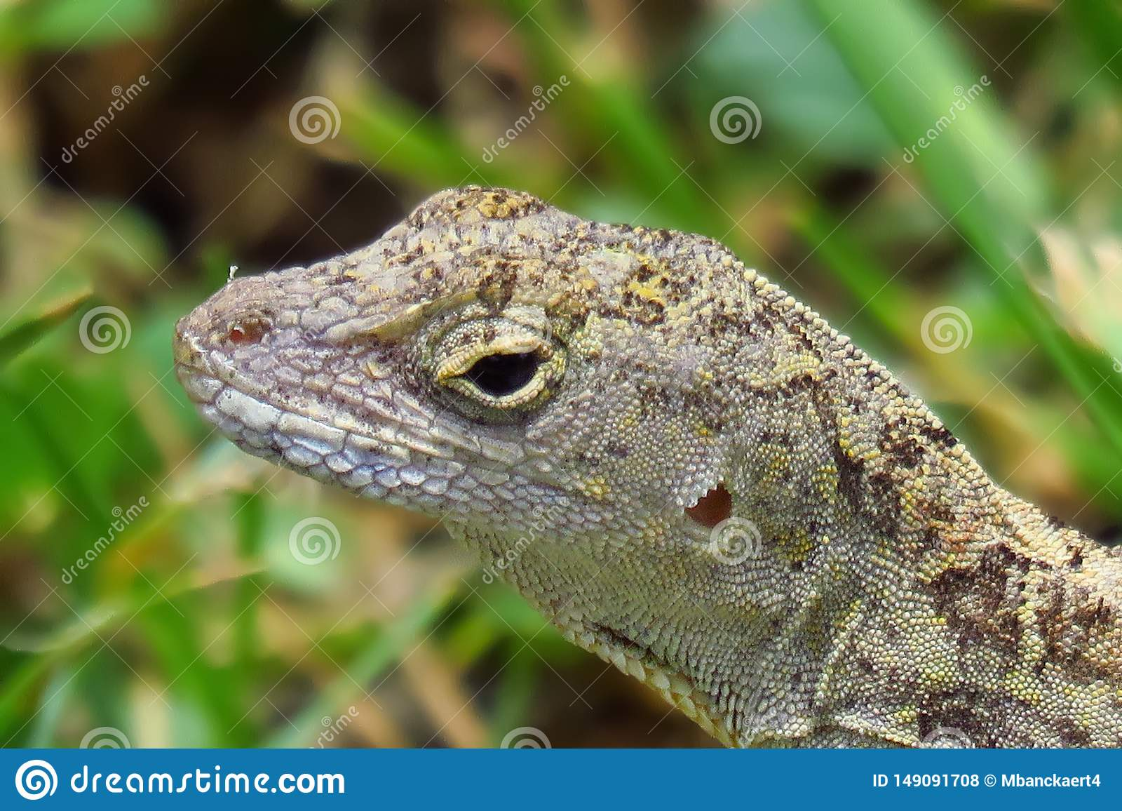 Fin vers le haut de reptile de sagrei d Anolis de Brown Anole Kauai, Hawa?, Etats-Unis