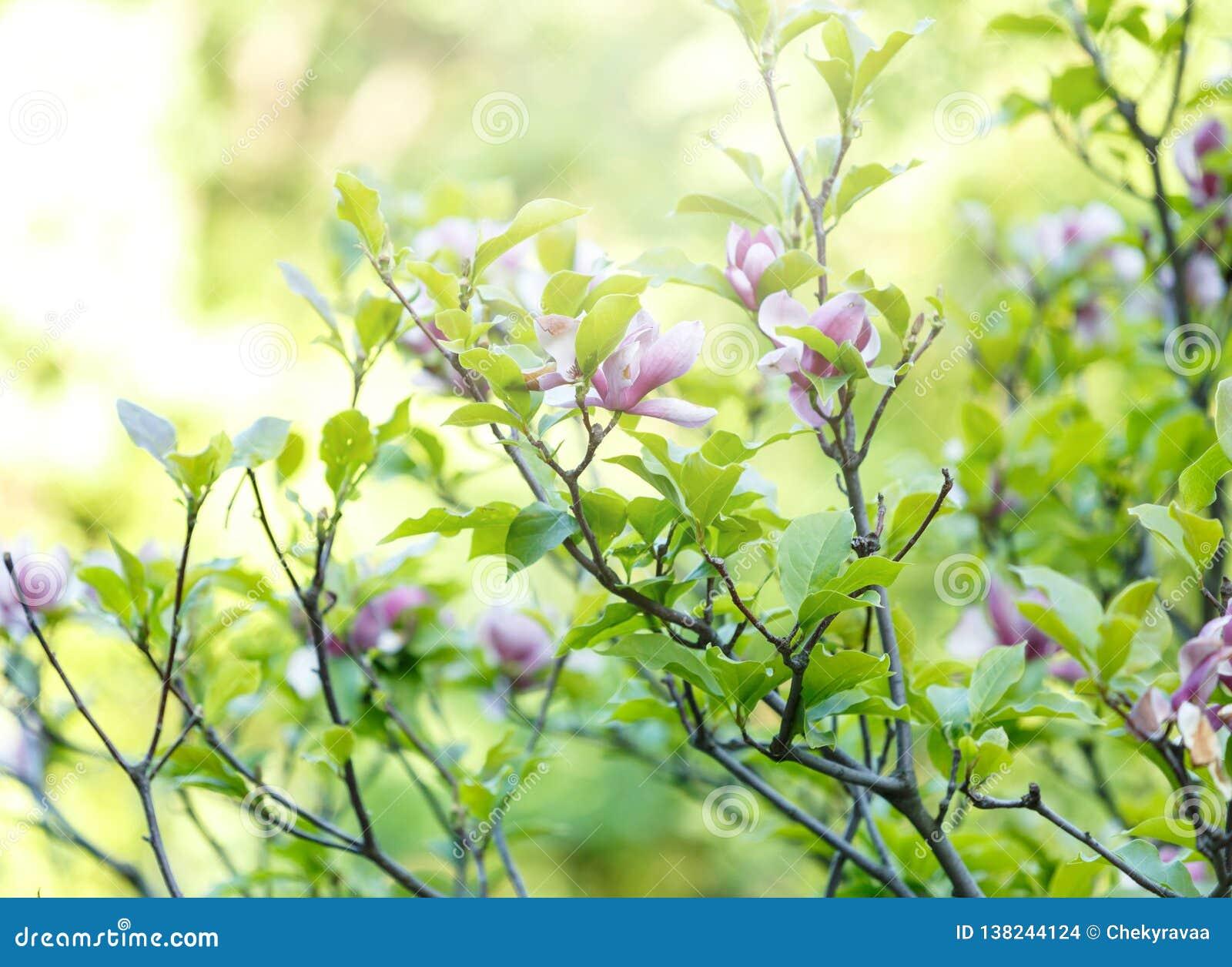 Fin vers le haut des fleurs roses violettes de magnolia avec la lumière du soleil Belles branches fleuries avec les feuilles vert
