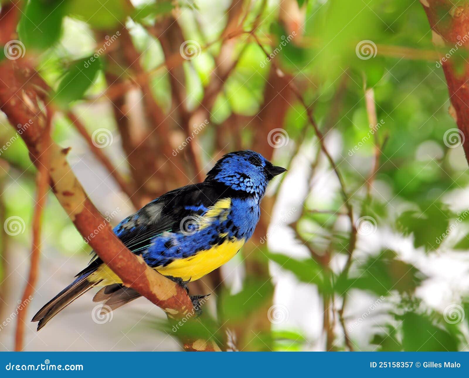 Finch πουλιών