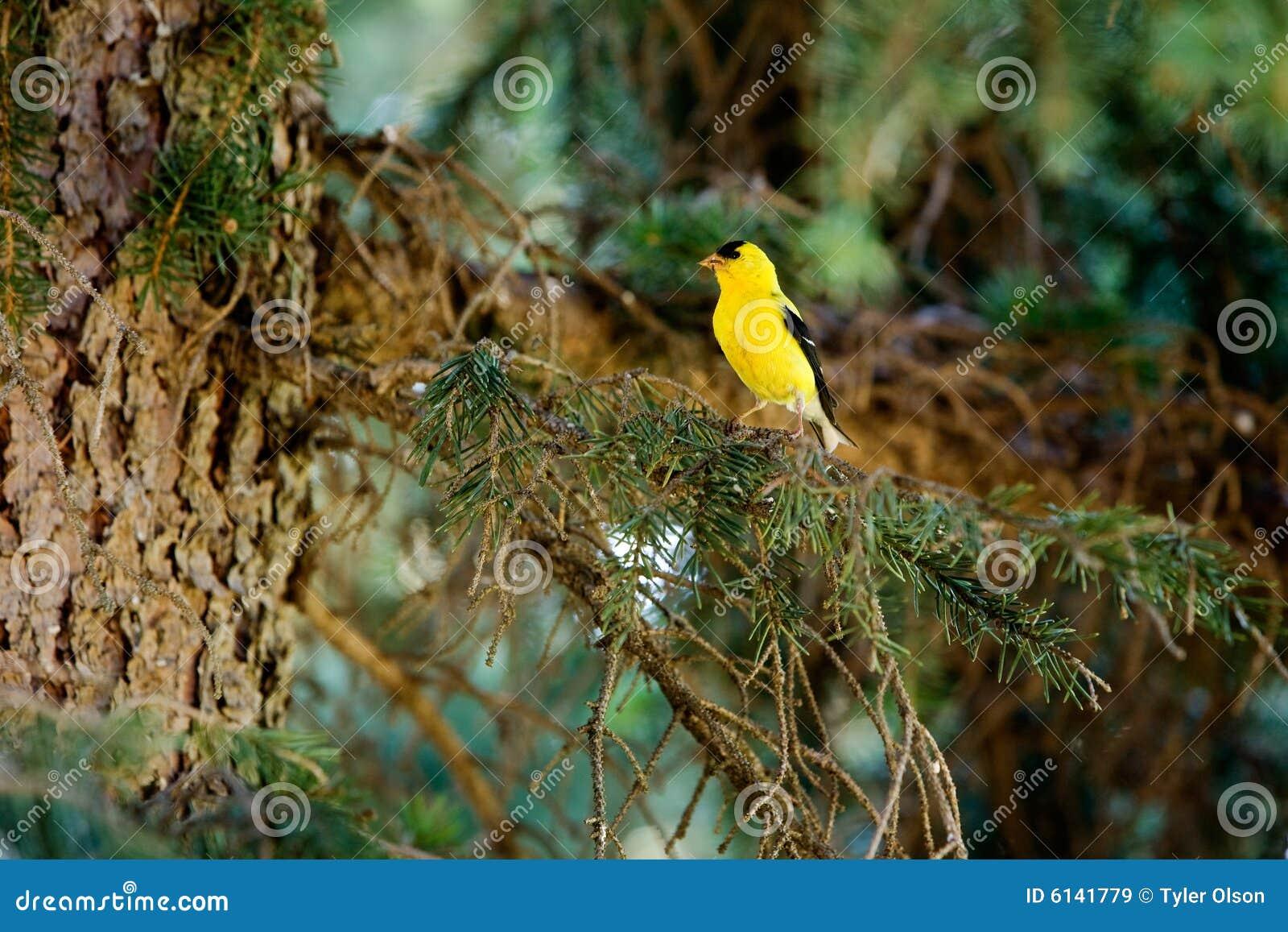 Finch χρυσός