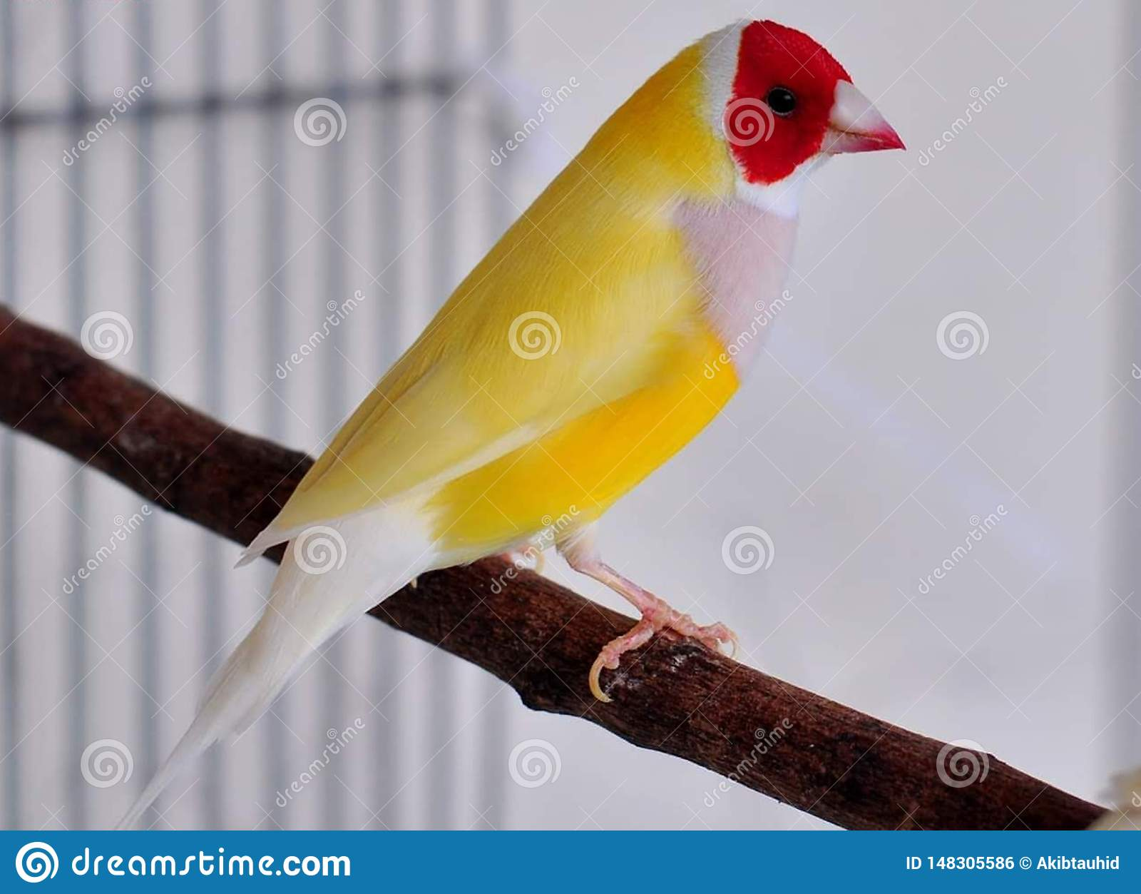 Gouldian Finch Bird