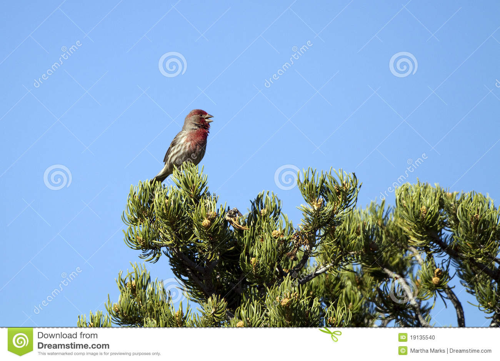 Finch carpodacus mexicanus σπιτιών