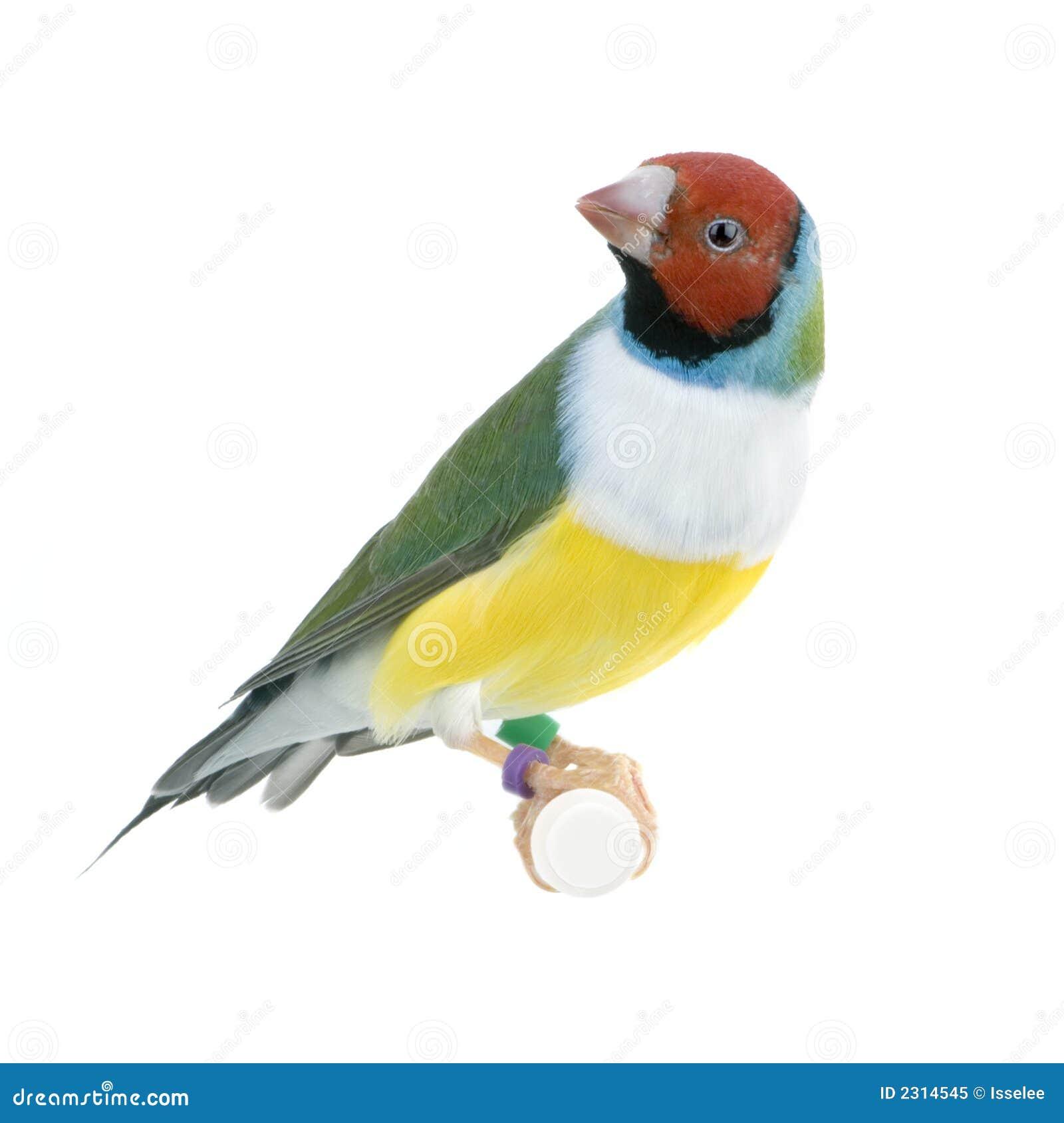 Finch gouldian
