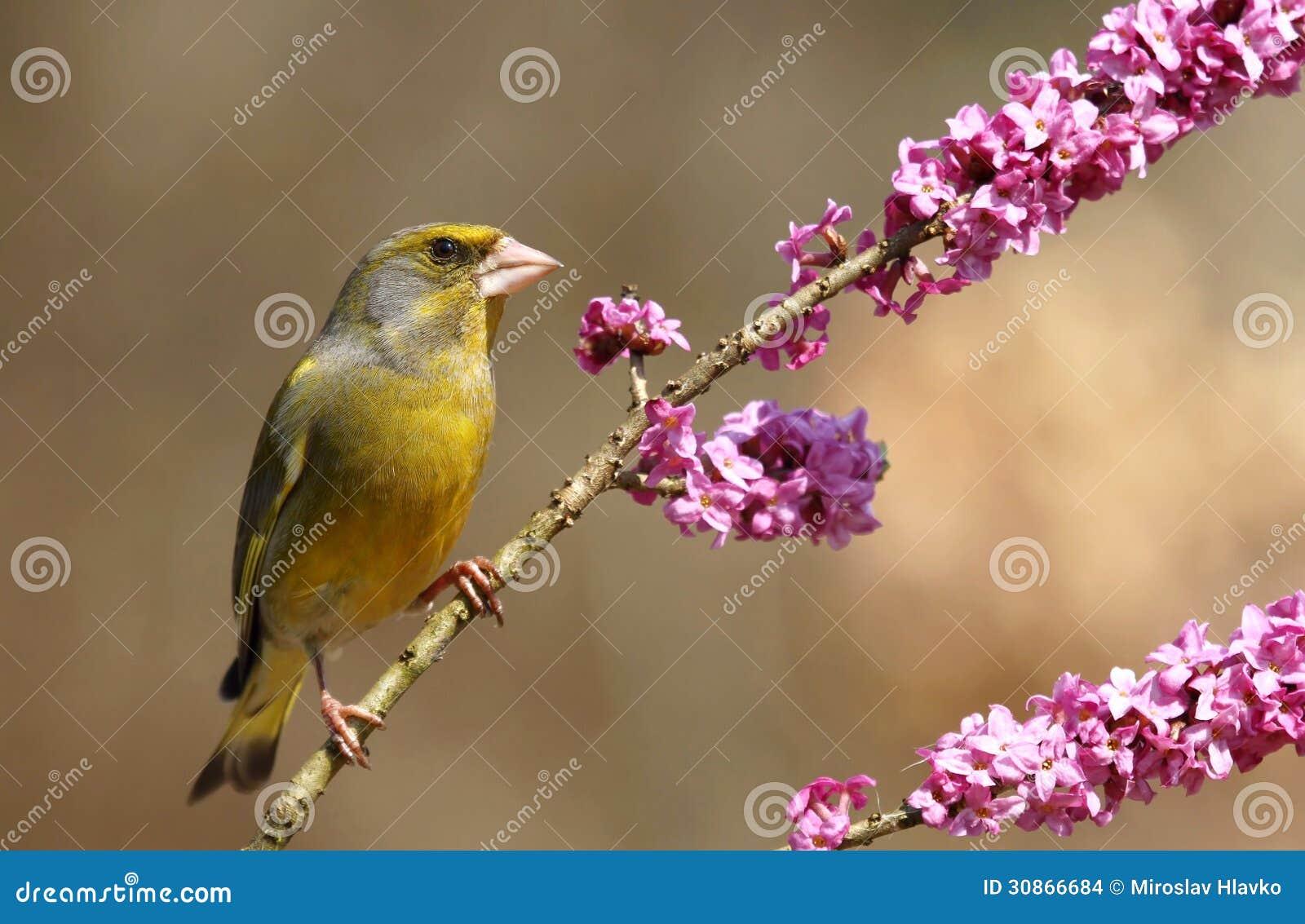 Finch na daphne