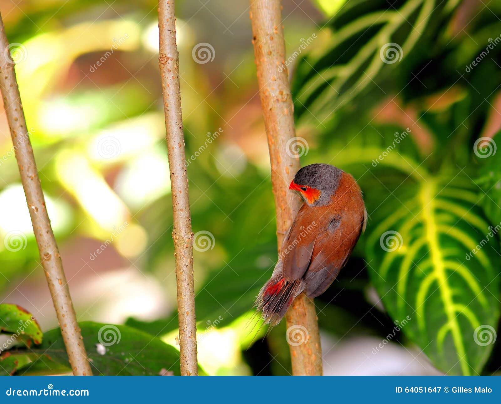 Finch ptak